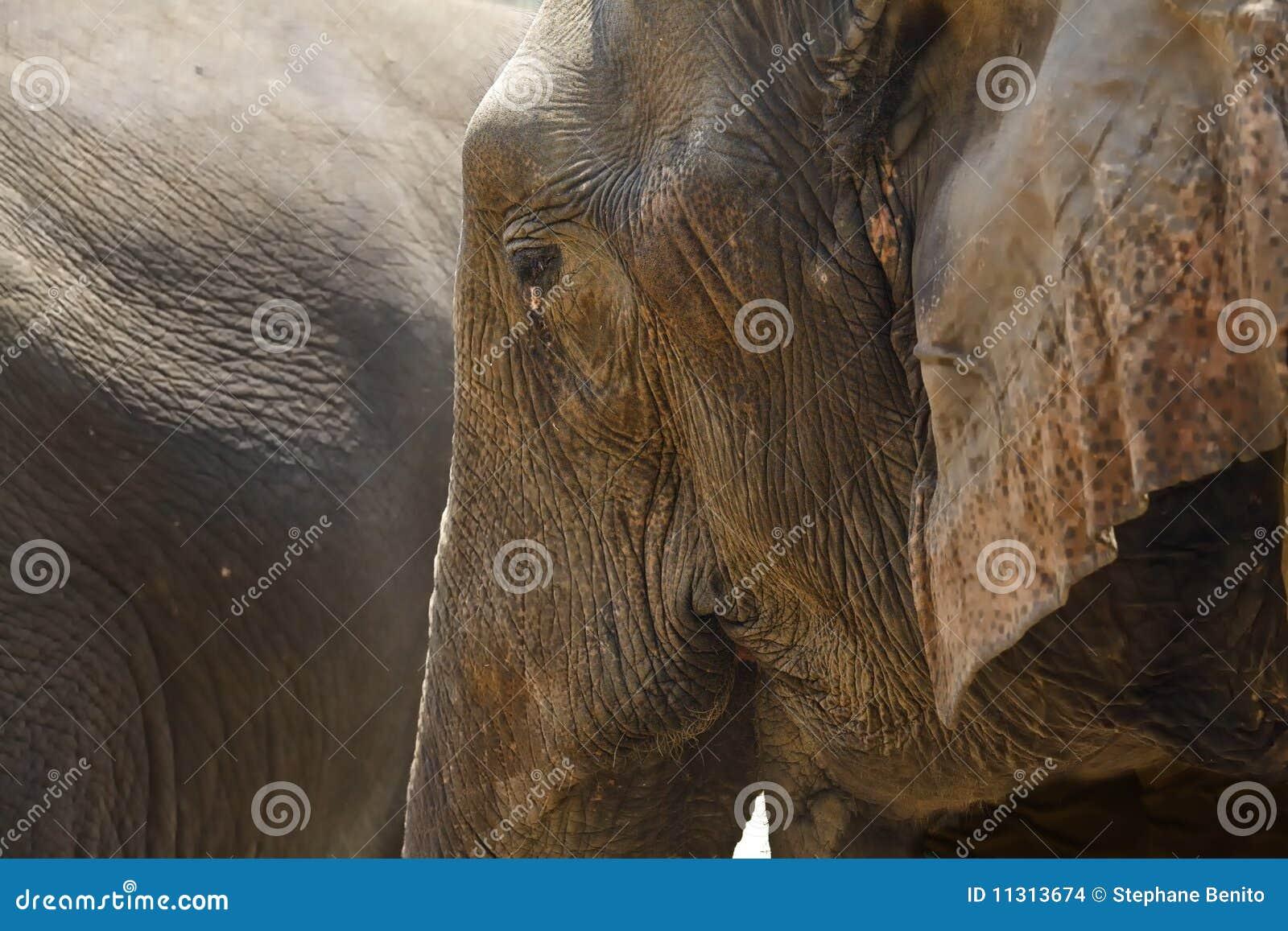 Tête d éléphant de profil de plan rapproché.