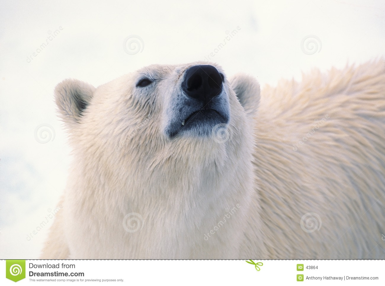 Tête d ours blanc