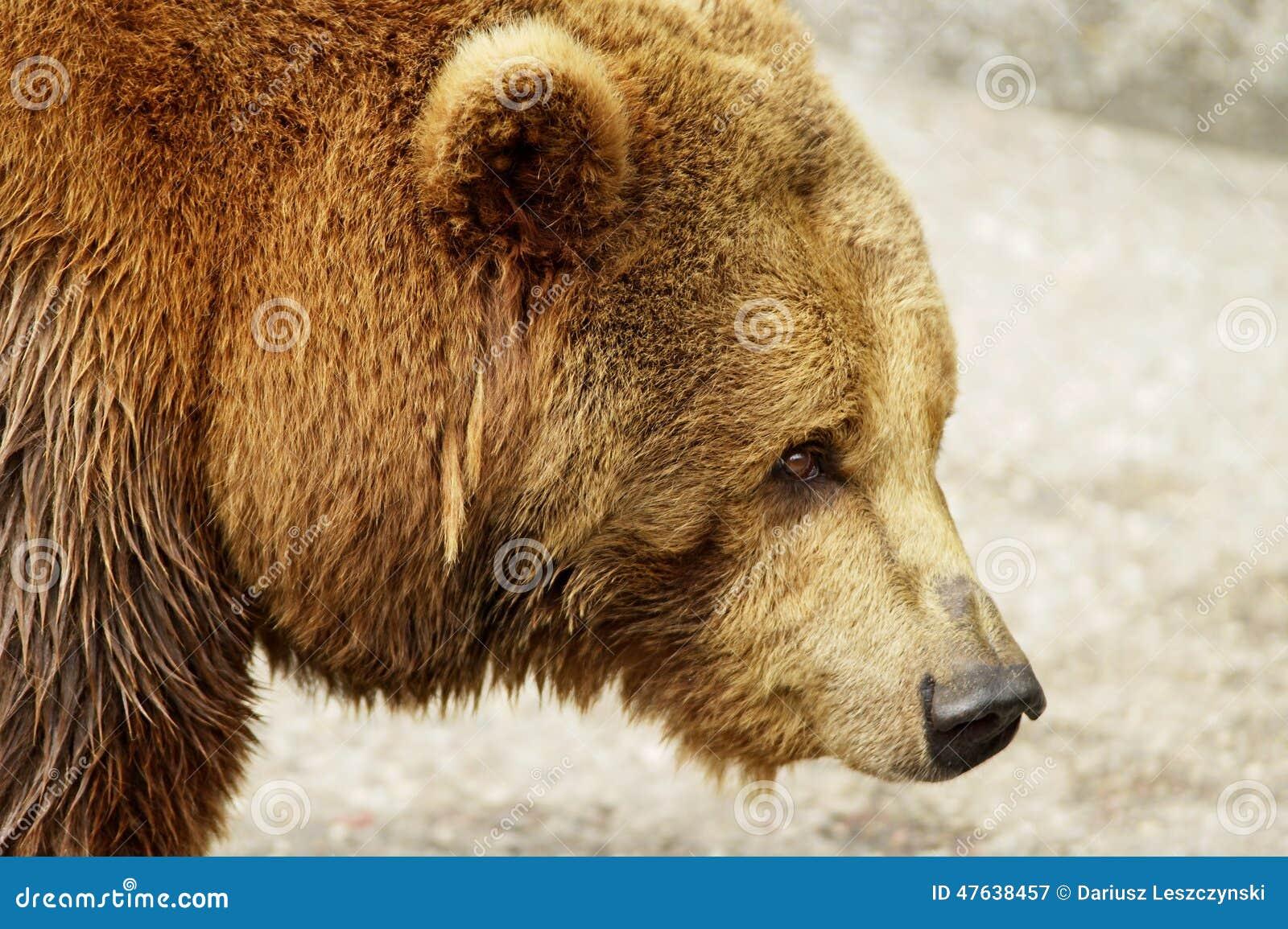 t te d 39 ours brun image stock image du carnivore europ en 47638457. Black Bedroom Furniture Sets. Home Design Ideas