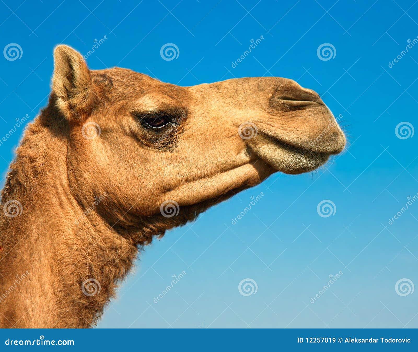 Tête d un chameau sur le safari -