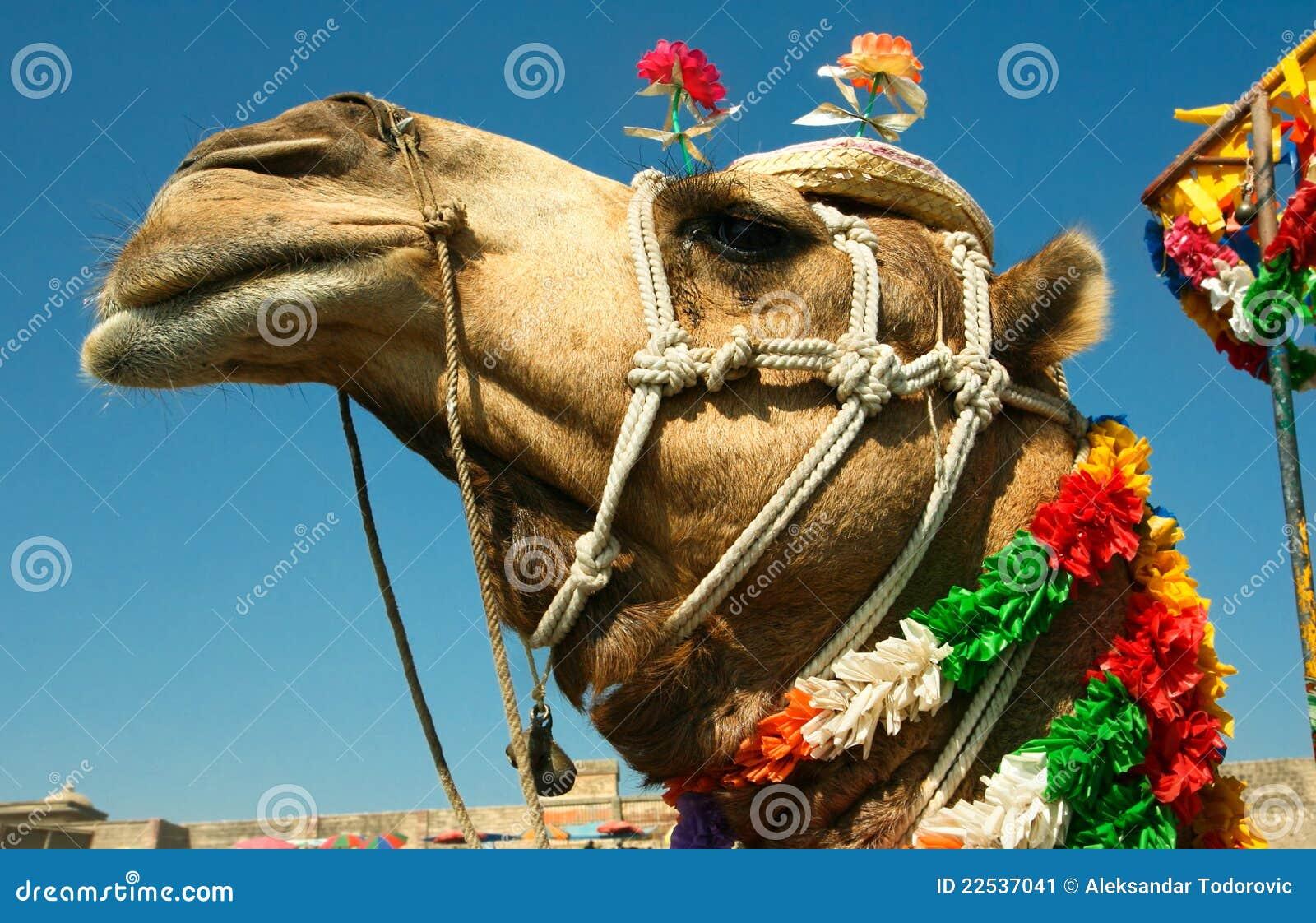 Tête d un chameau sur le safari - désert