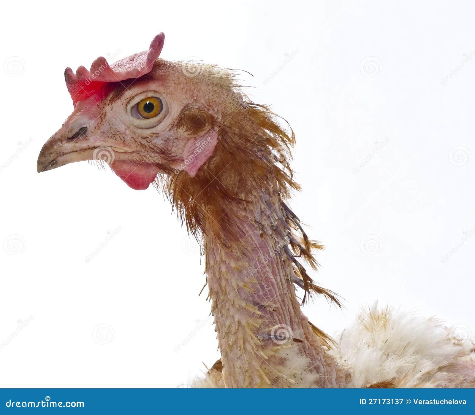 T te d 39 une poule de l 39 agriculture mise en cage - Image d une poule ...