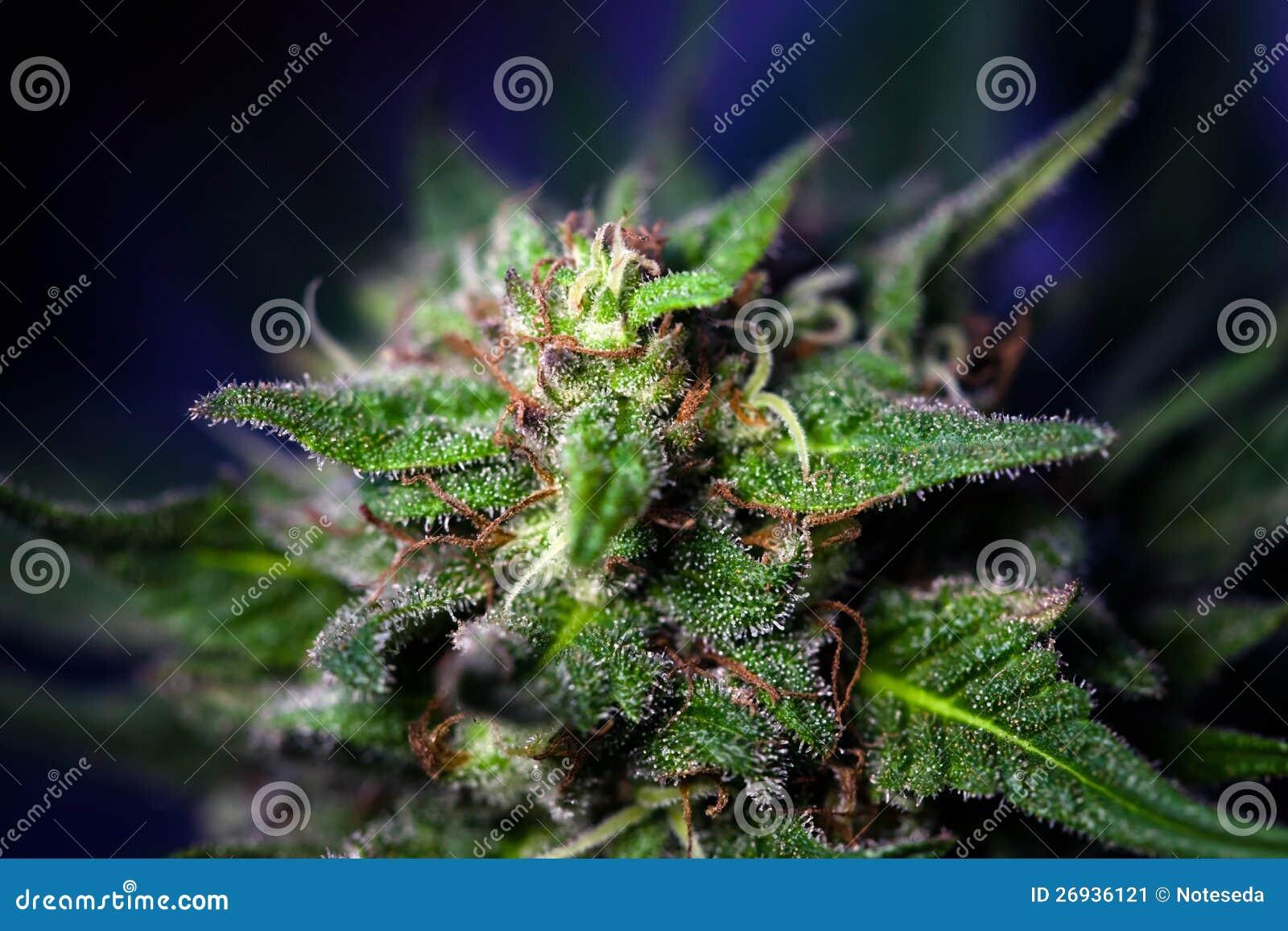 Tête de cannabis
