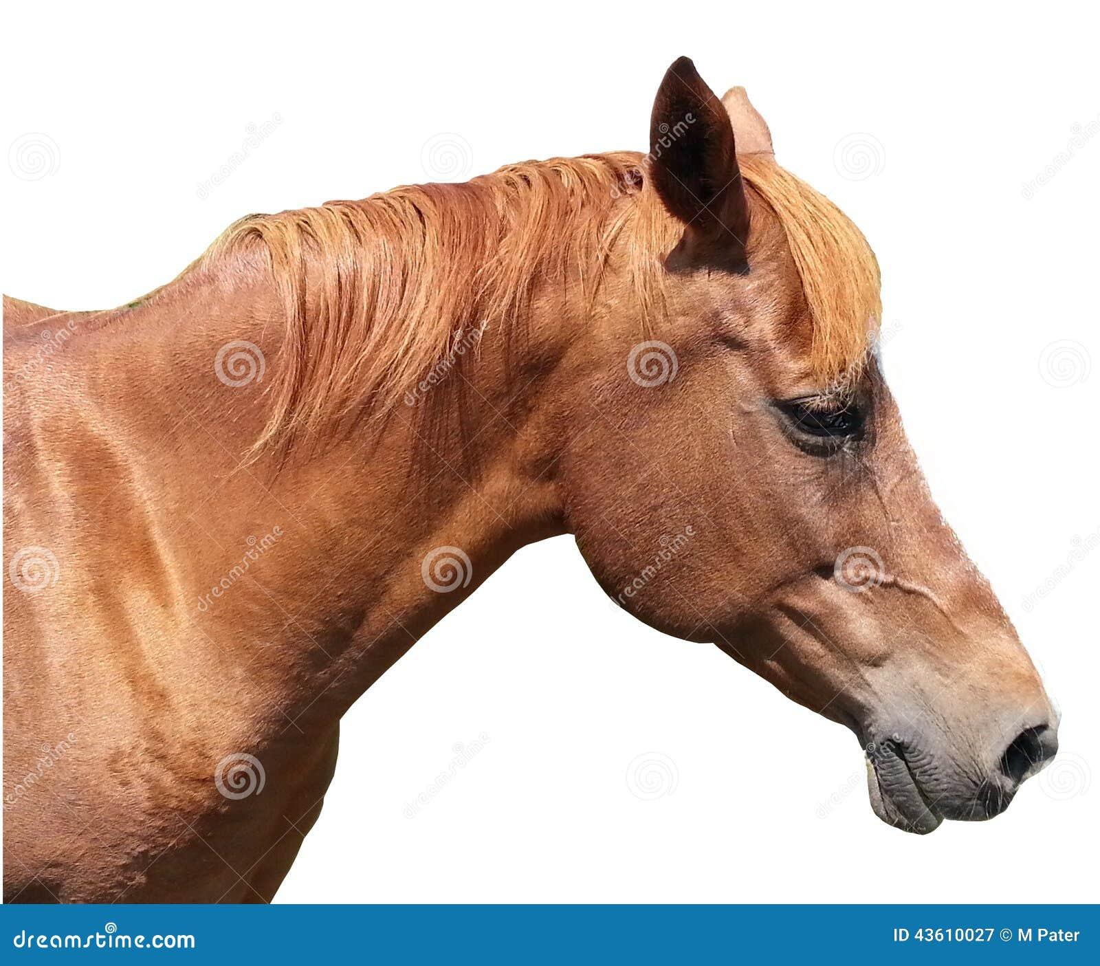 Cheval Tete tête de cheval de brown sur le fond blanc image stock - image du