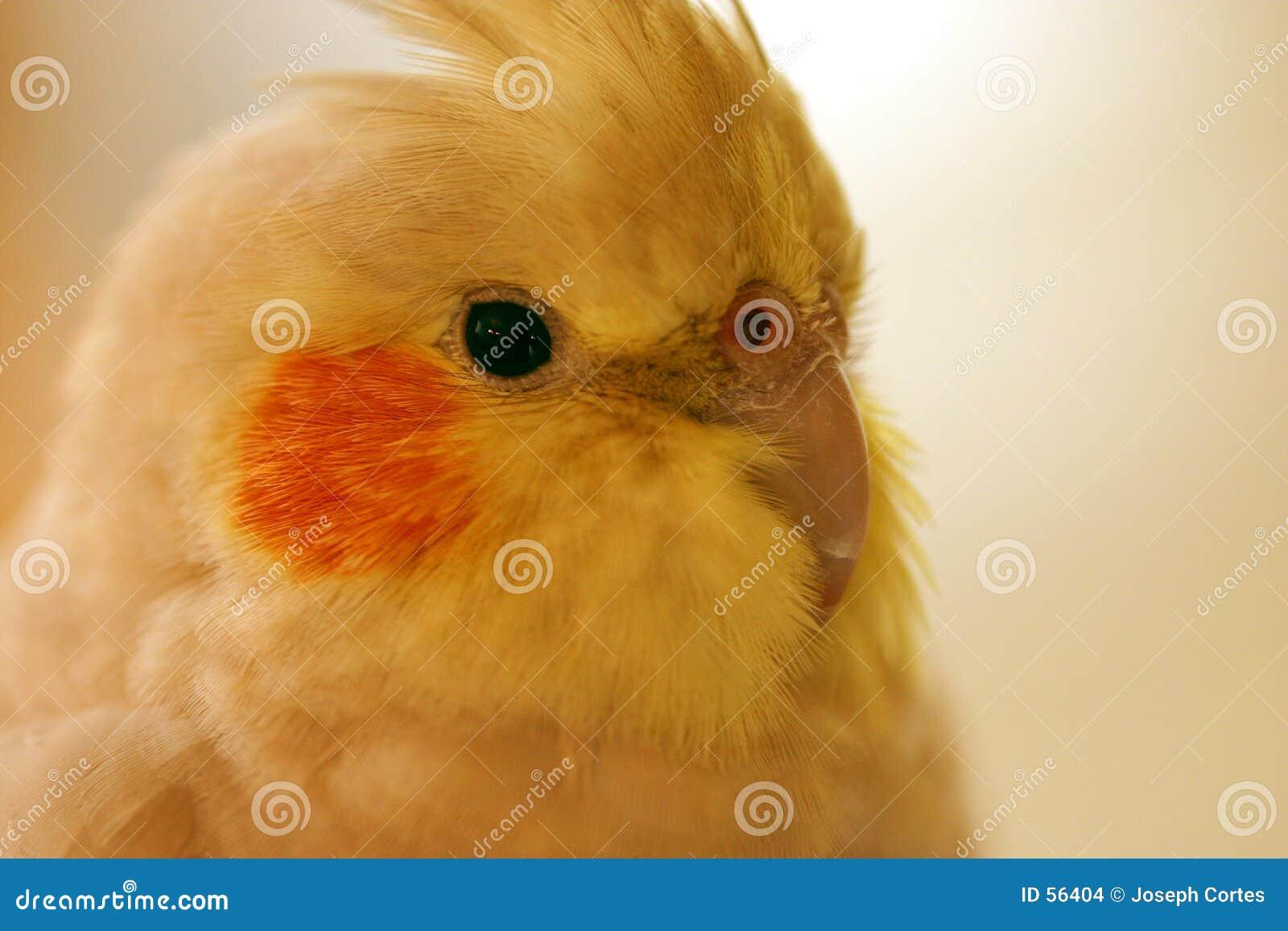 Download Tête de Cocatiel photo stock. Image du nature, tête, plumage - 56404