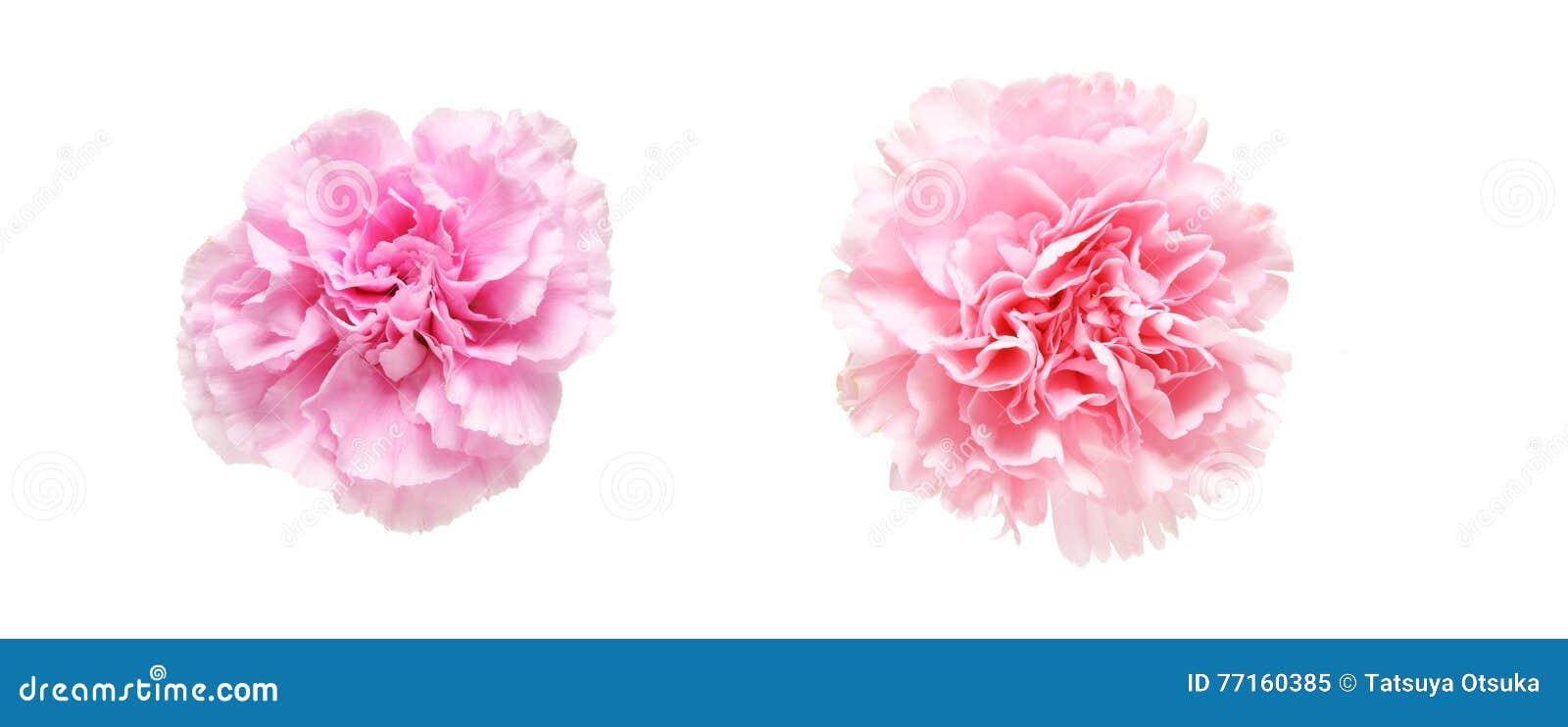 Tête de fleur d oeillet