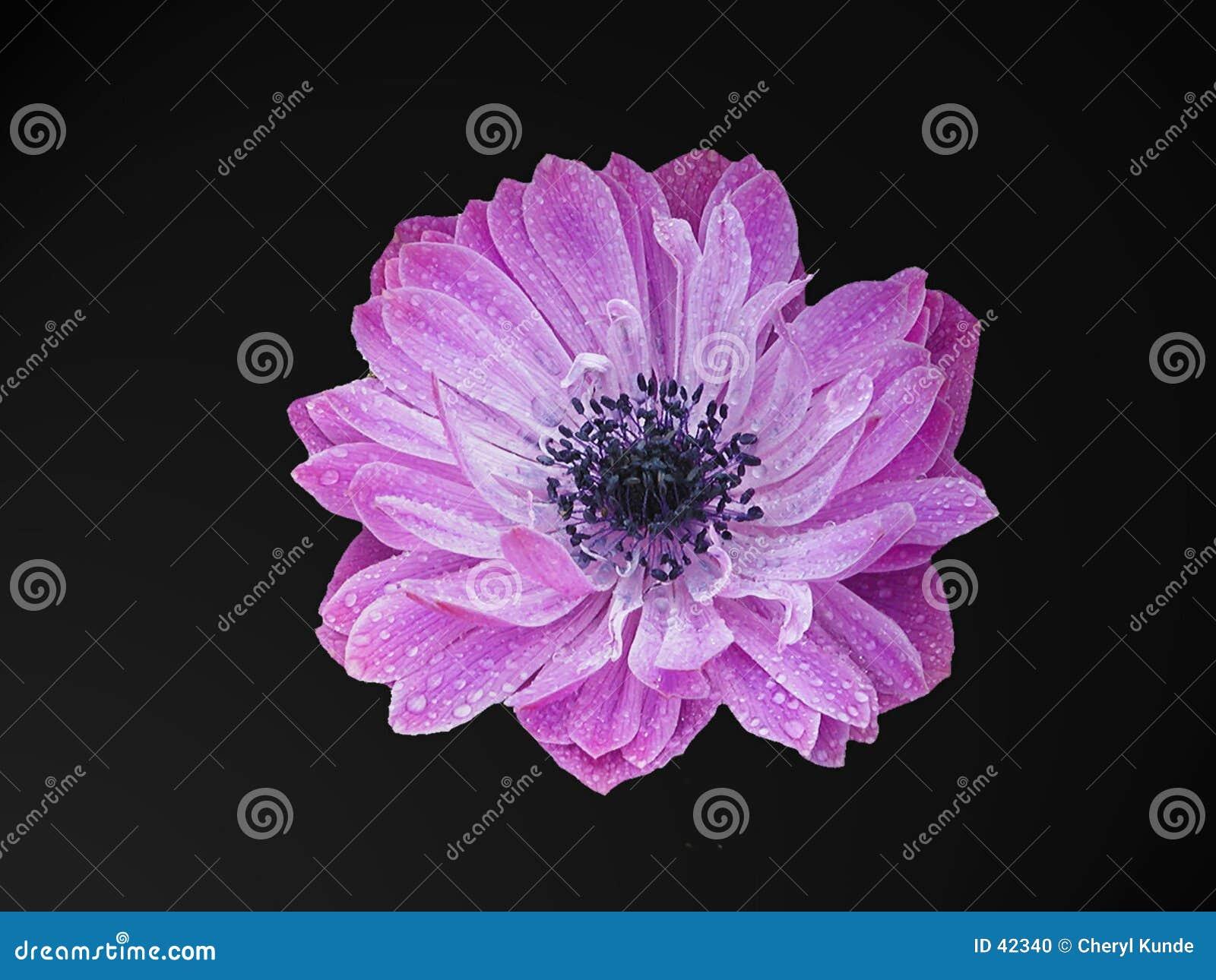 Tête de fleur pourprée