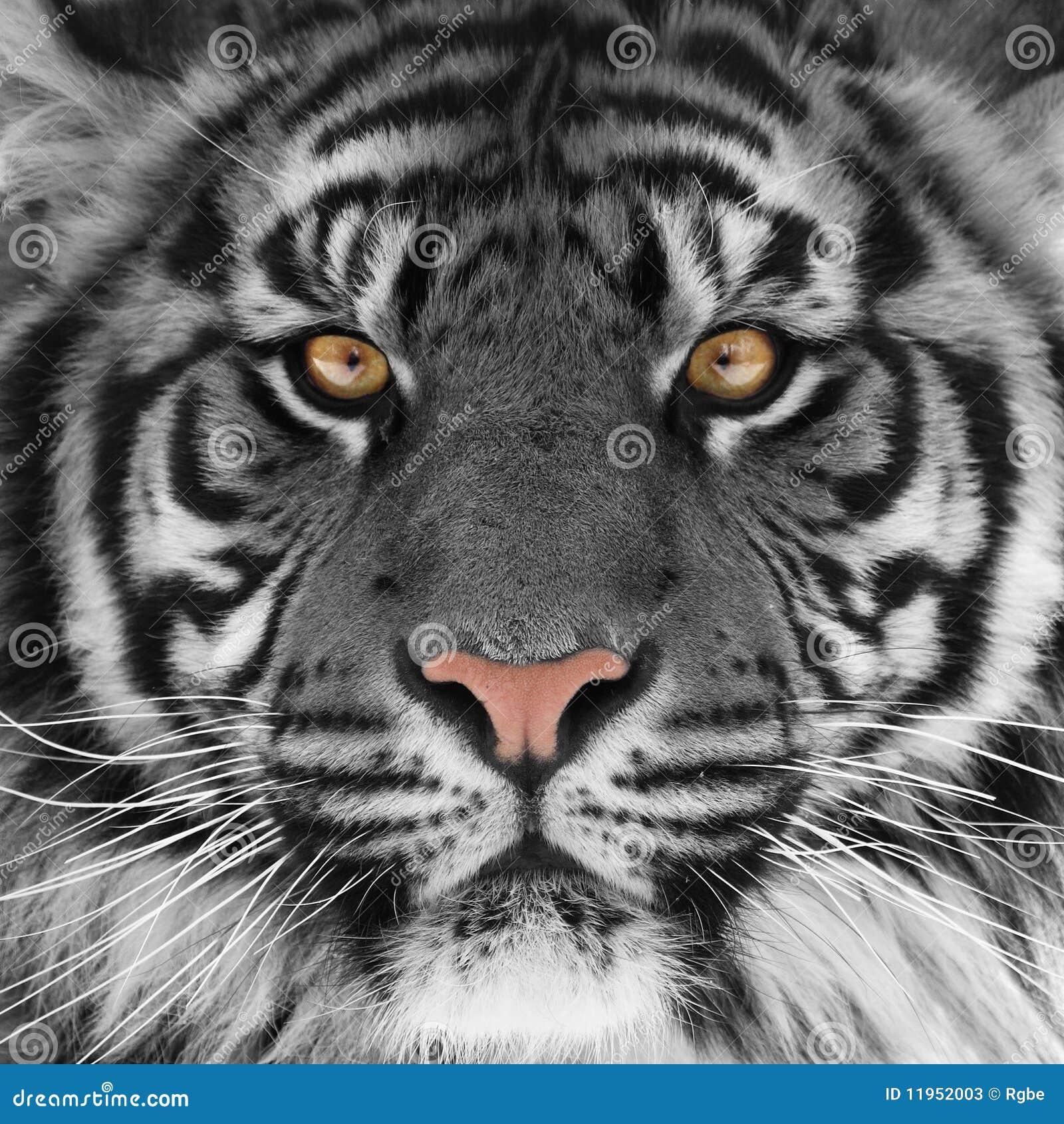 T te de tigre photos stock image 11952003 - Image tete de tigre ...