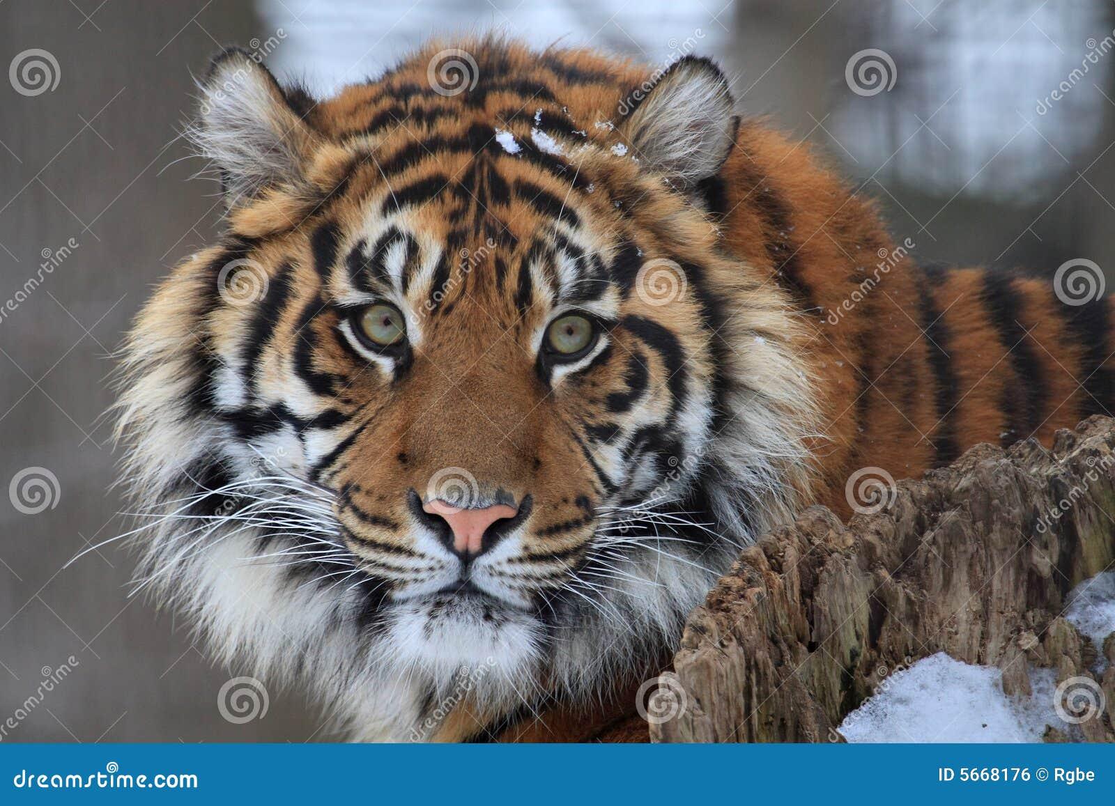 T te de tigre image libre de droits image 5668176 - Image tete de tigre ...