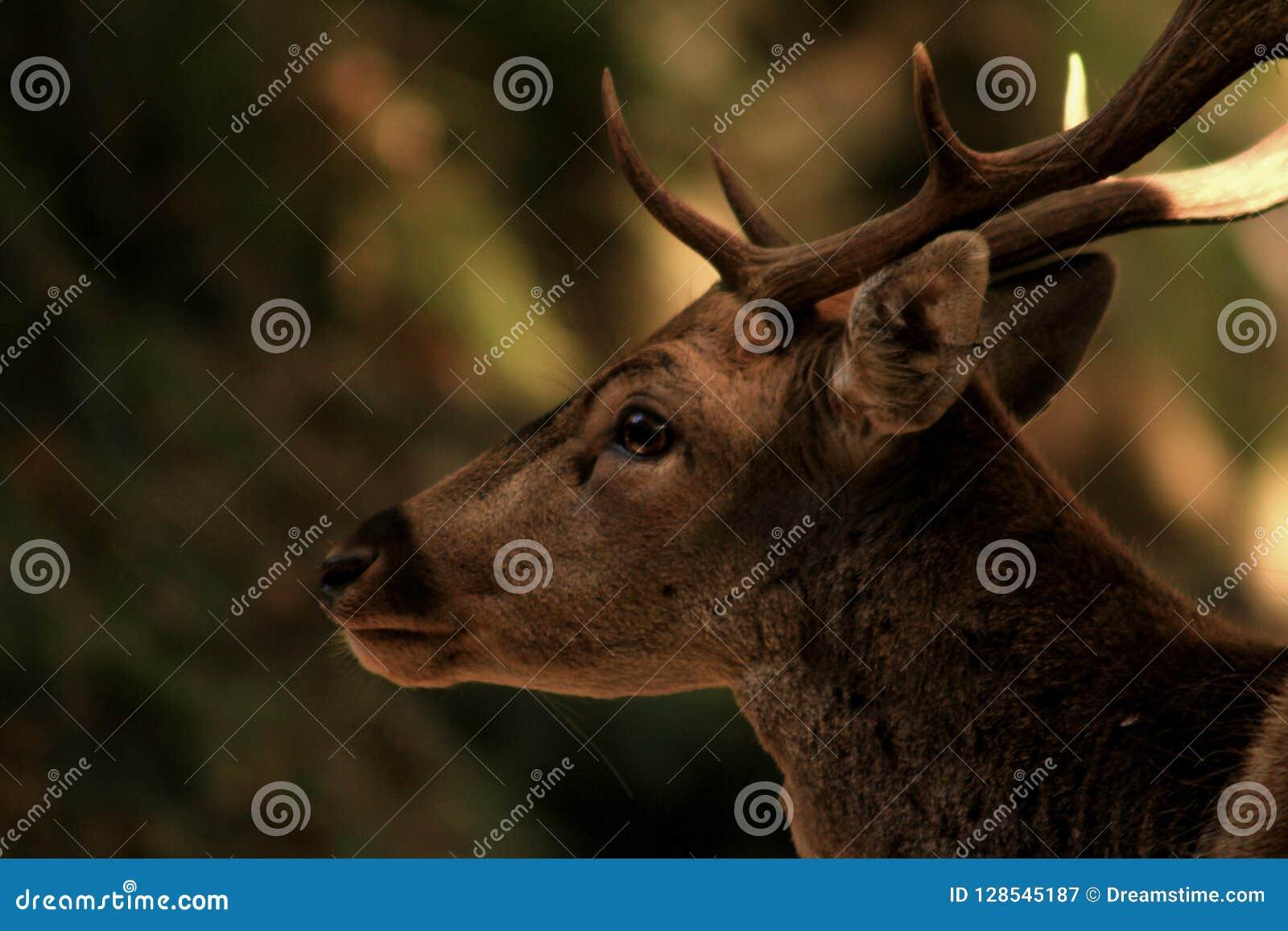 Tête masculine de cerfs communs