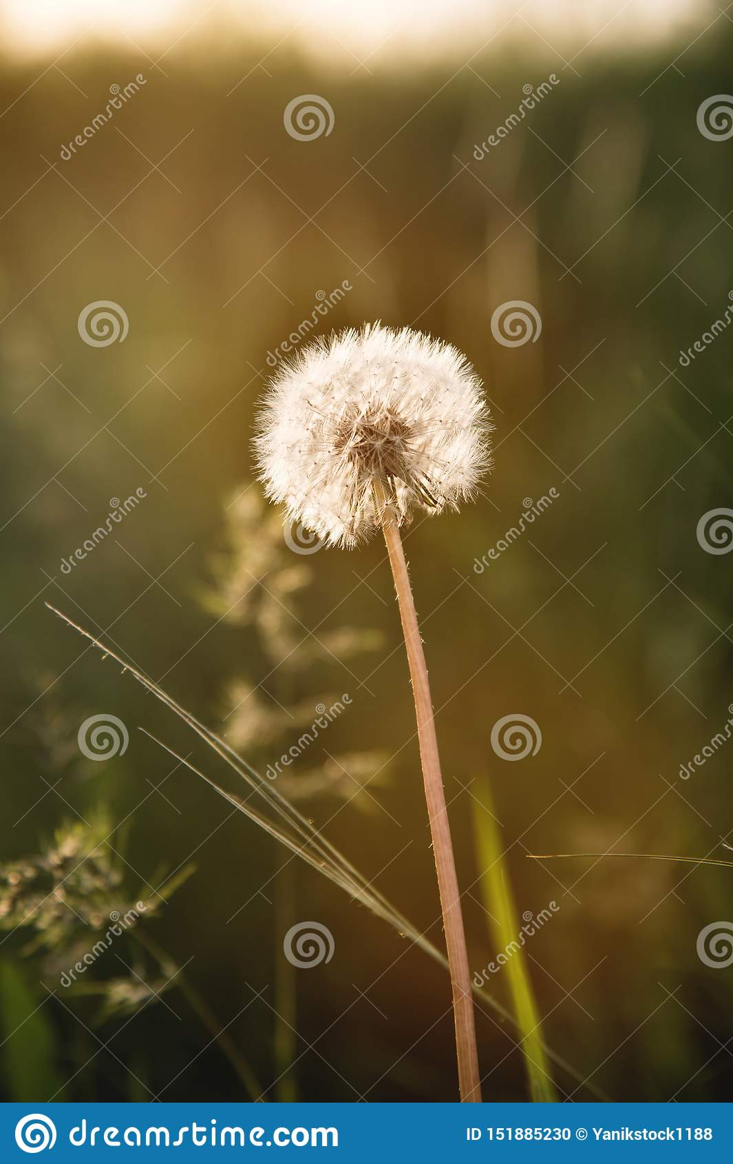 Tête transparente de graine de pissenlit au coucher du soleil en plan rapproché d herbe verte avec des points culminants du solei