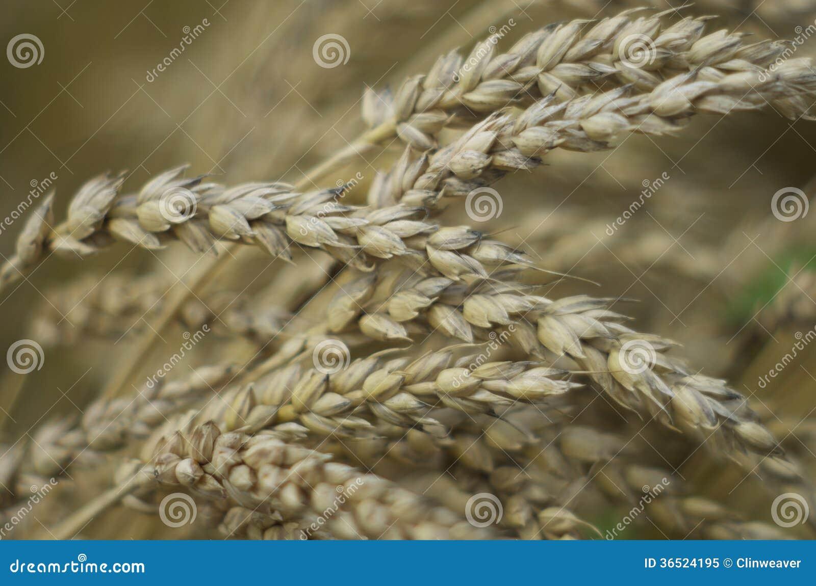 Têtes de blé