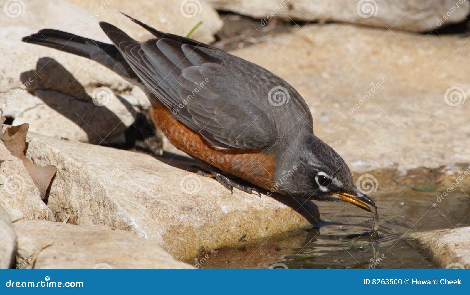 Törstig robin
