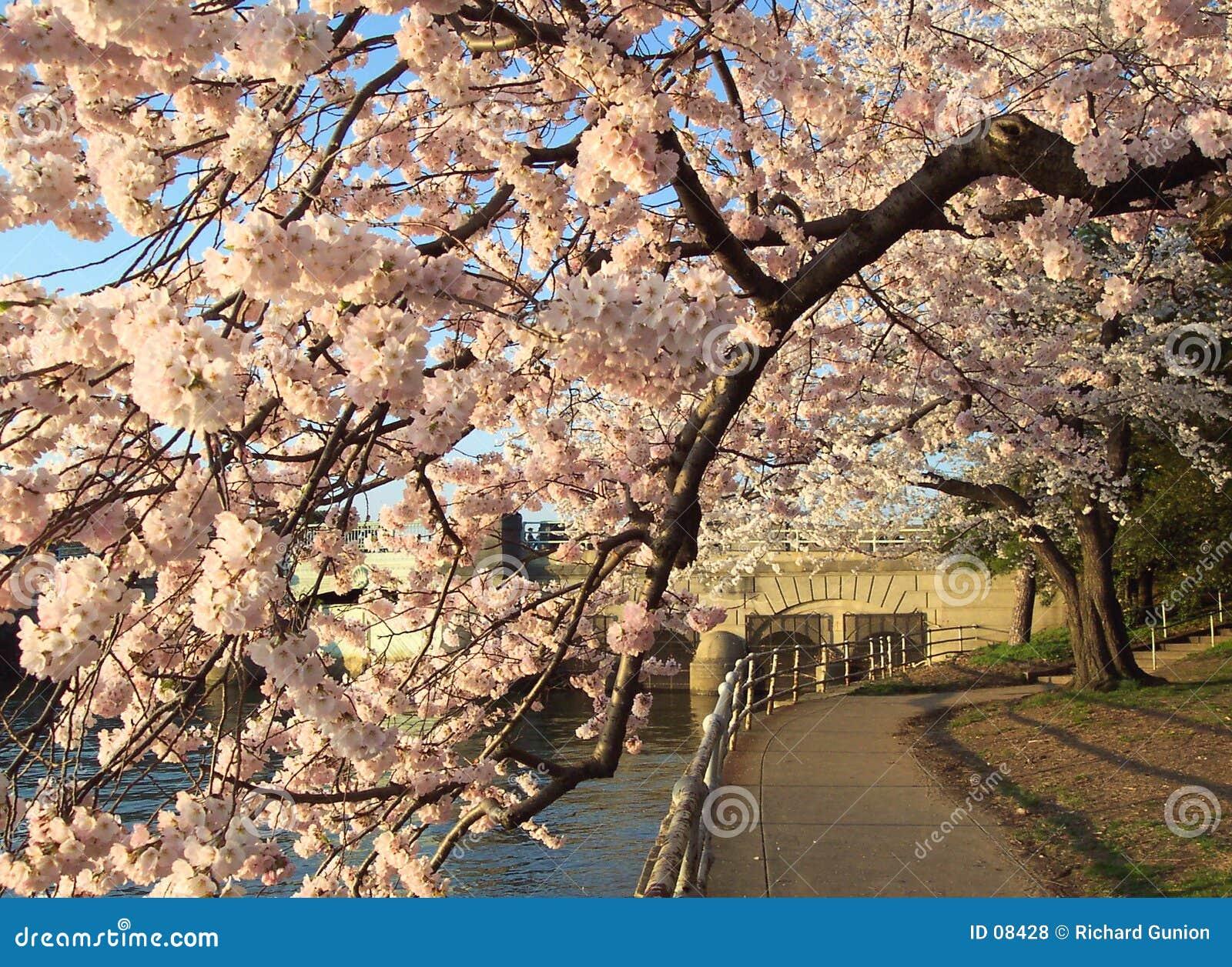 Túnel del flor de cereza