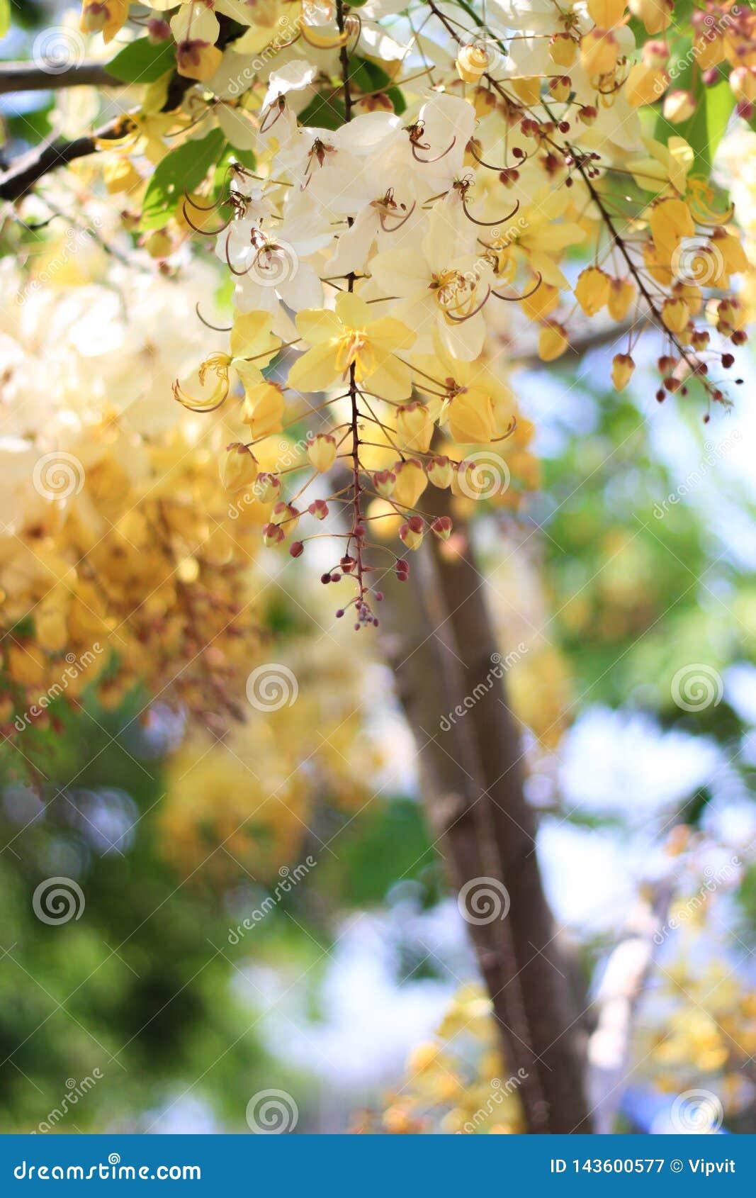 Tęczy prysznic drzewny kwiat Ratchaphruek lub biel