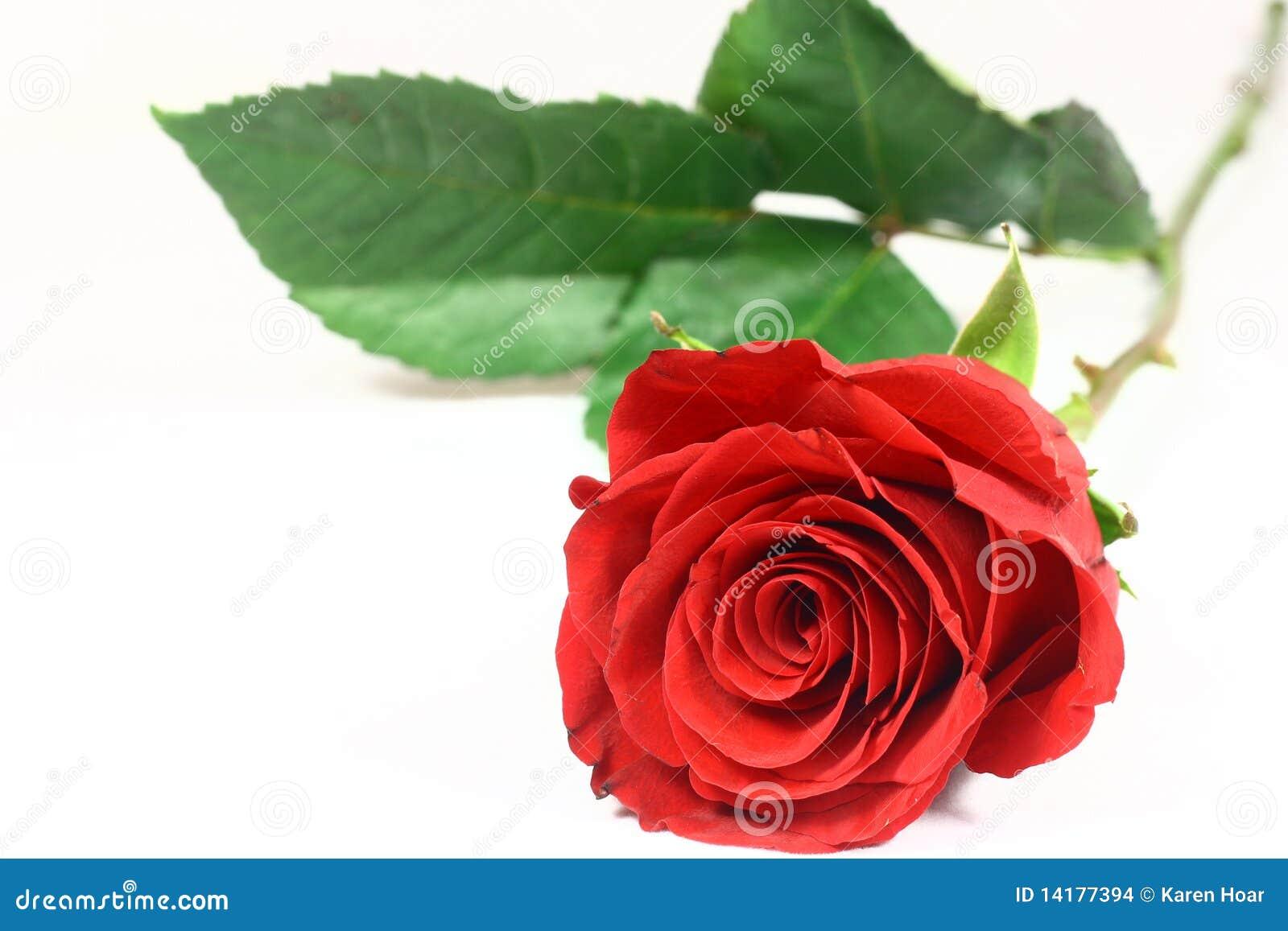 Tęsk róża jeden trzon