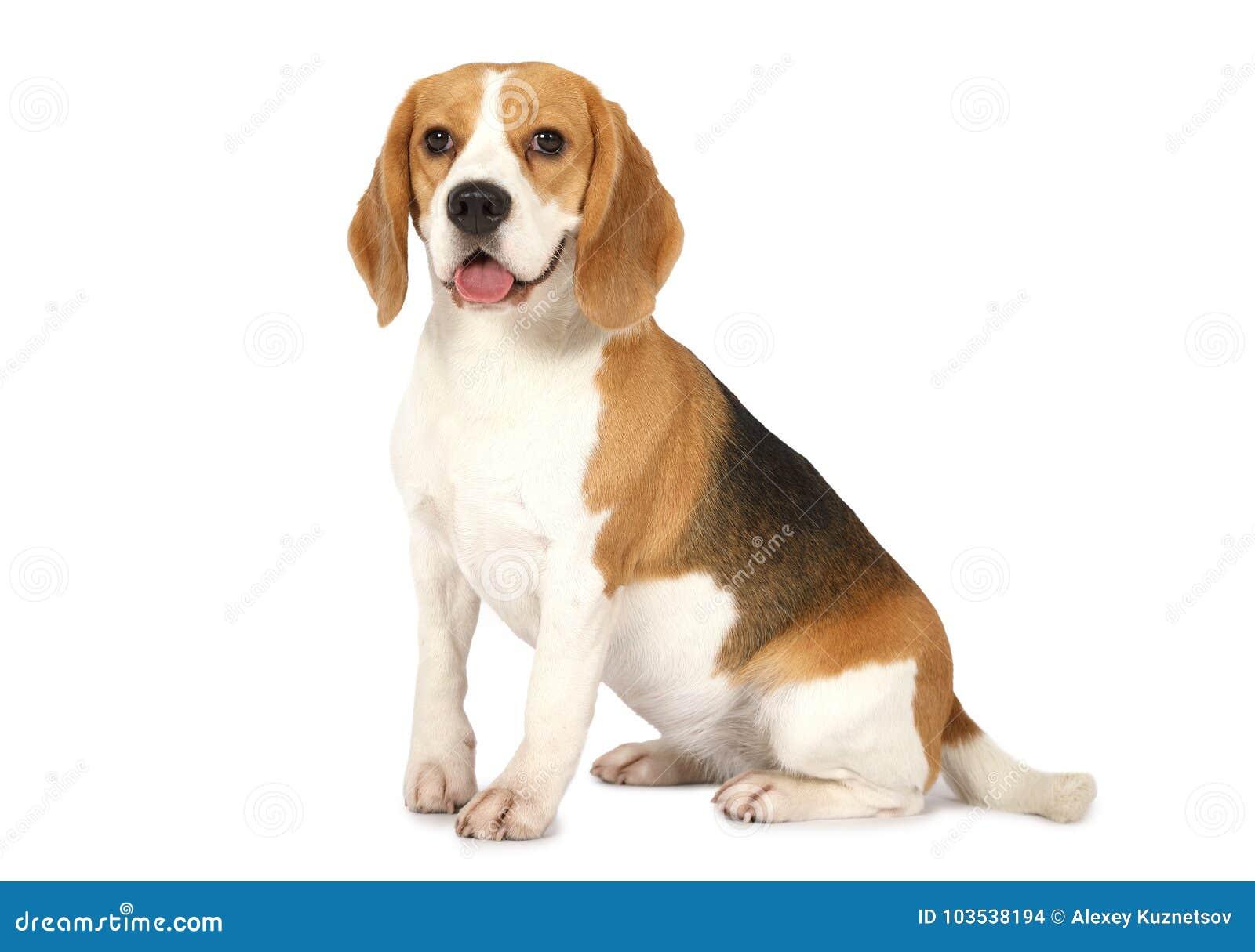 Tła beagle psa odosobniony biel