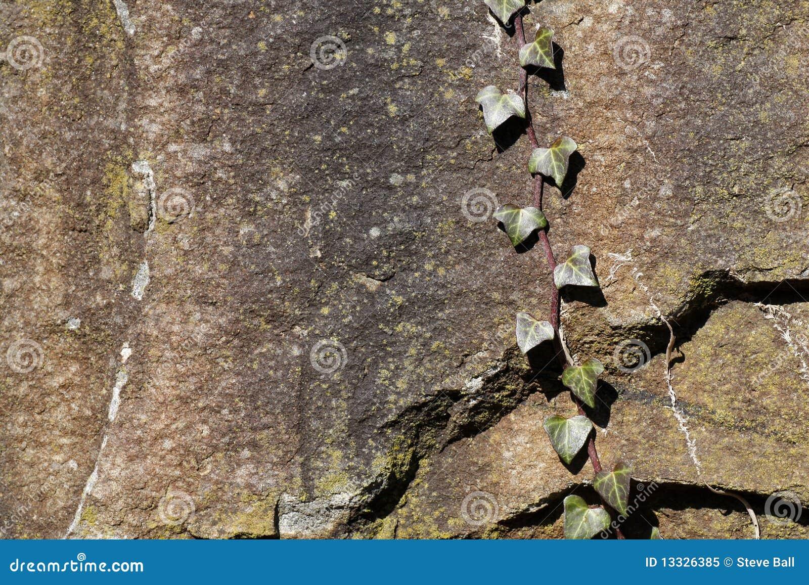 Tła bluszcza skała