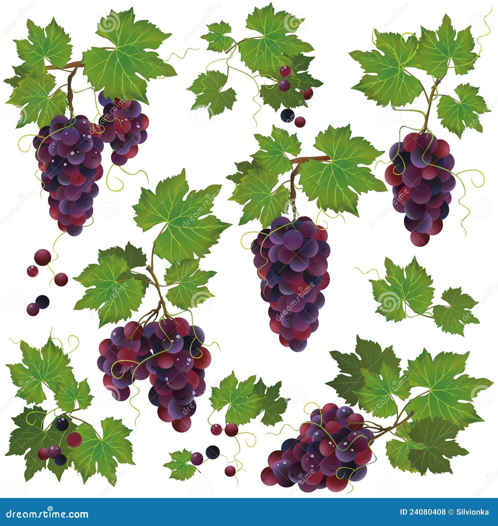 Tła czarny winogrona odosobniony ustalony biel