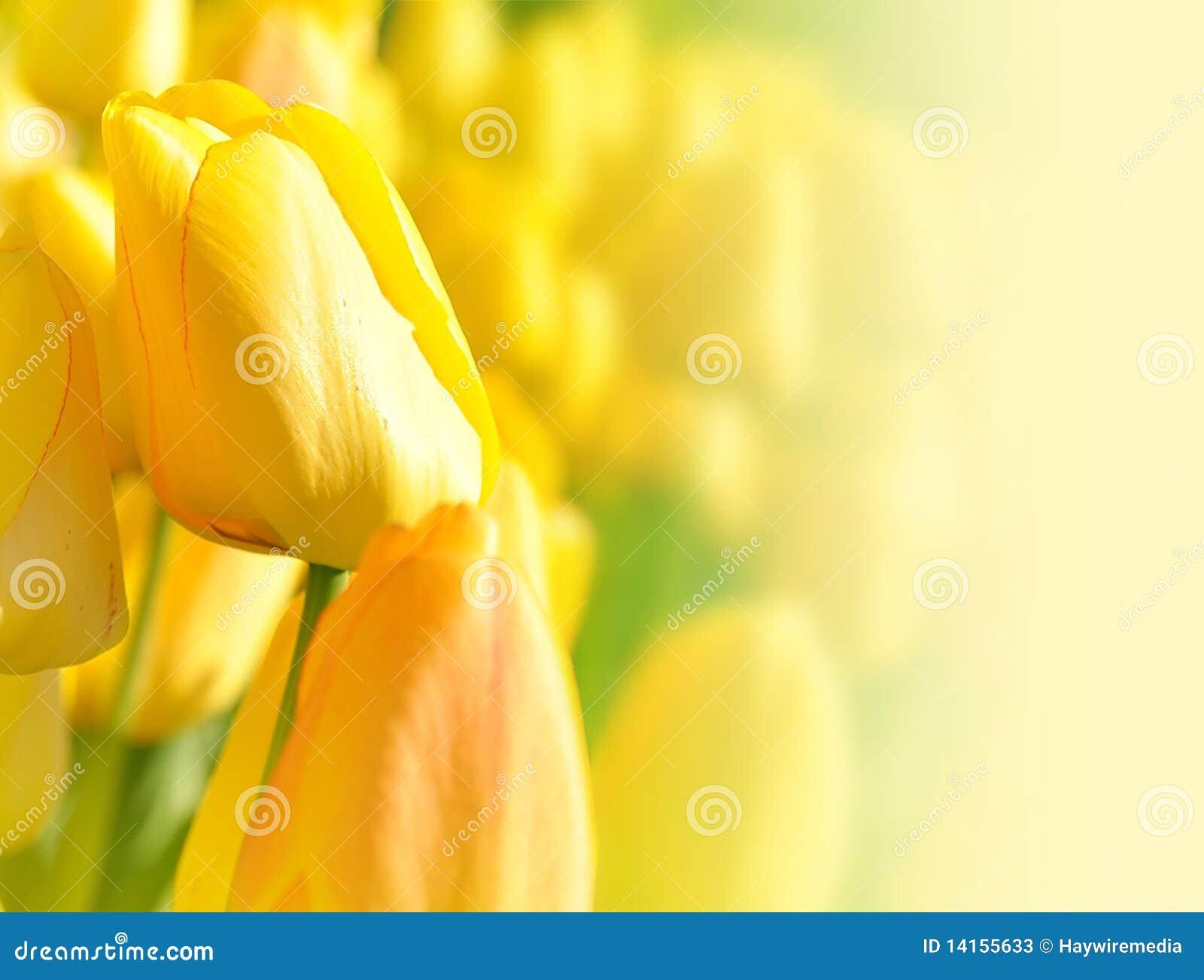 Tła jaskrawy kwiatu tulipanu kolor żółty