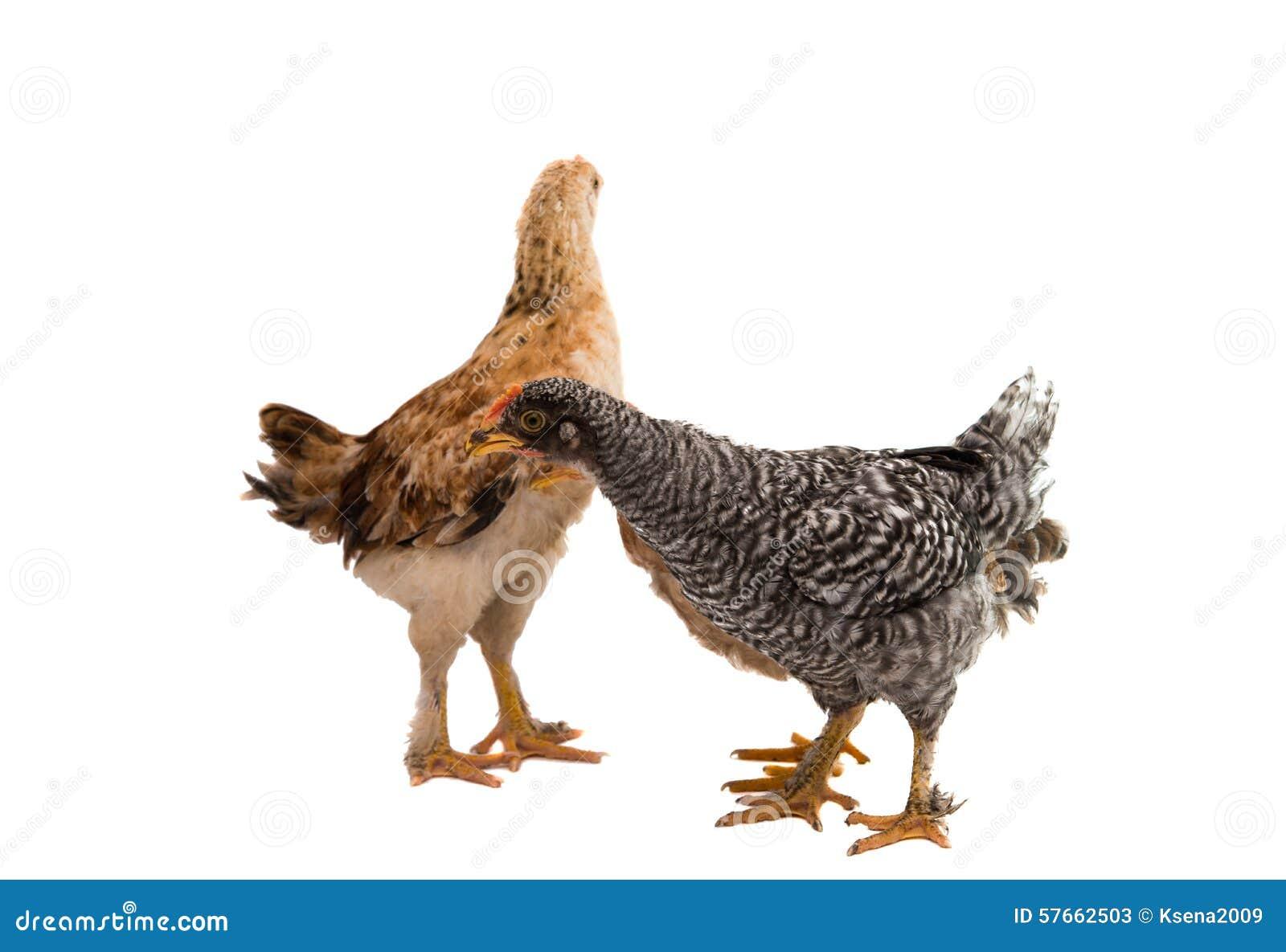 Tła kurczaki odizolowywający przyglądający trwanie biel