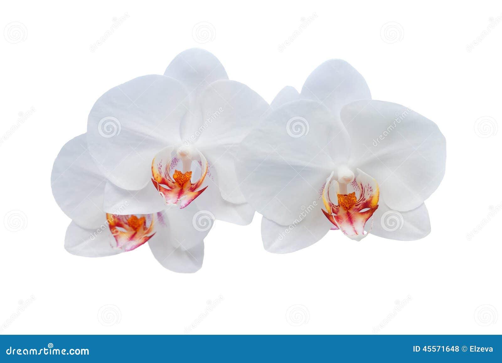 Tła kwiatu storczykowy biel