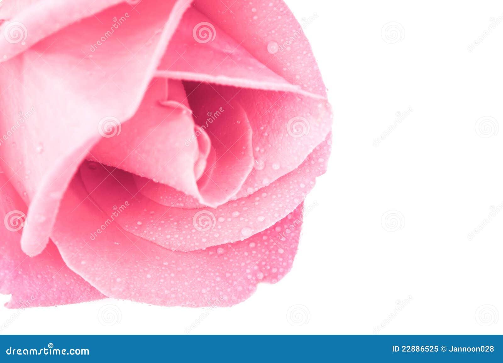 Tła menchii róży biel