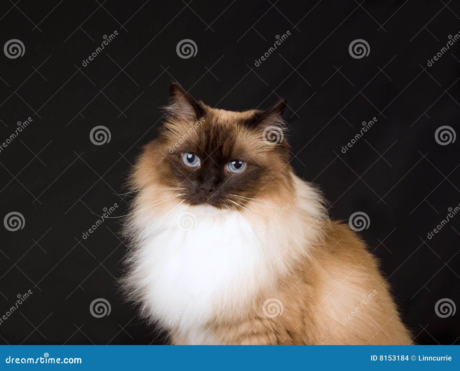 Tła Piękny Czarny Kota ładny Ragdoll Zdjęcie Stock Obraz Złożonej