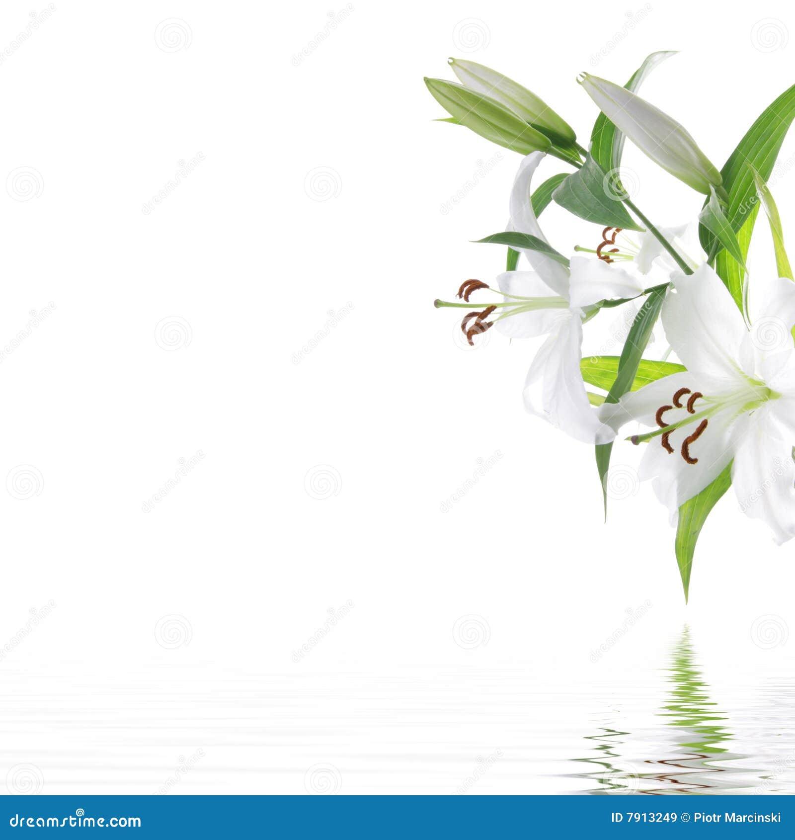 Tła projekta kwiatu lilium zdroju biel