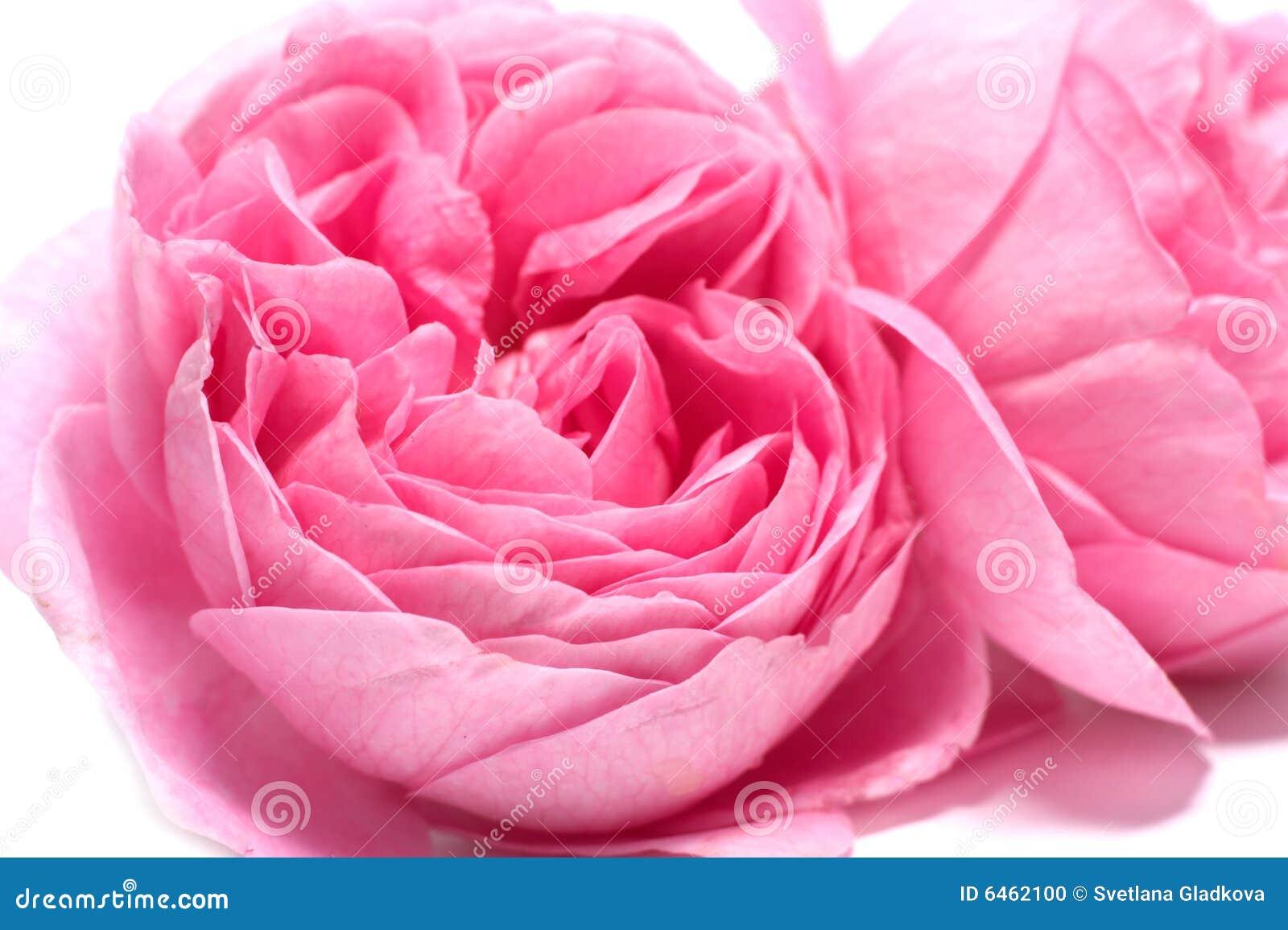 Tło białe róże świeże