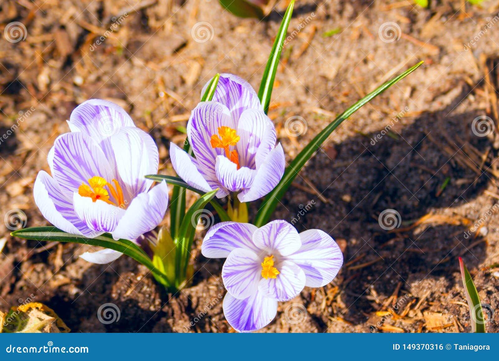 Tło białego fiołka wiosny krokusy