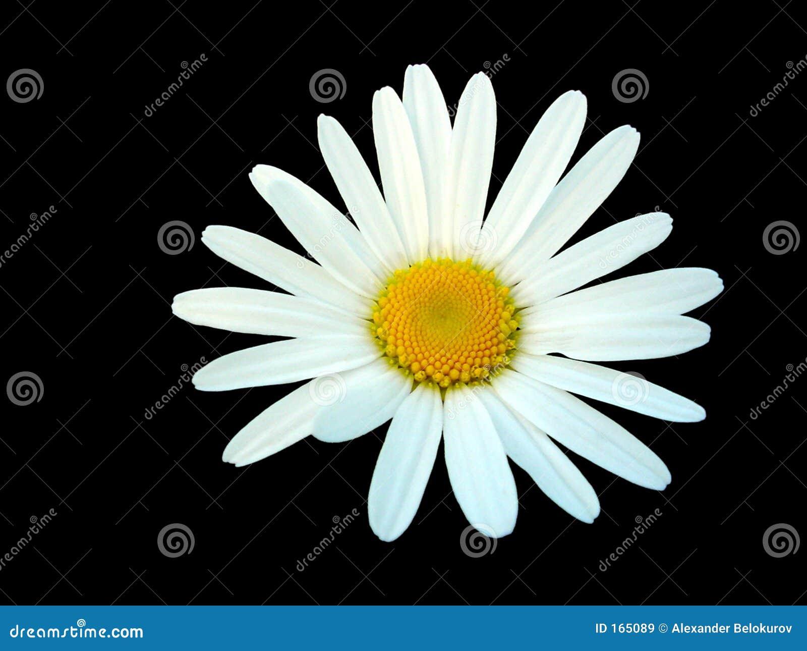 Tło czarnej daisy pojedynczy white