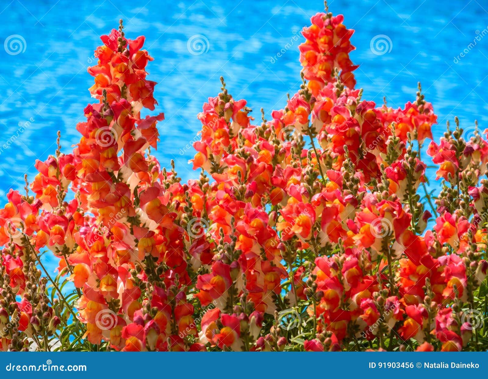 Tło kwitnie czerwień