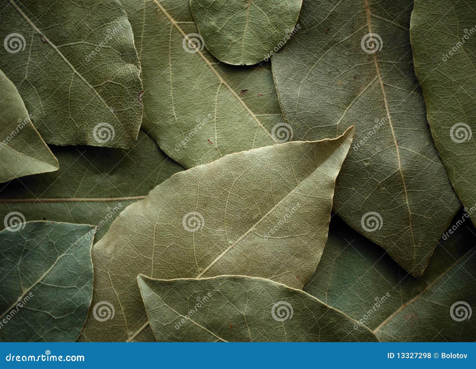 Tło liść wysuszony laurowy