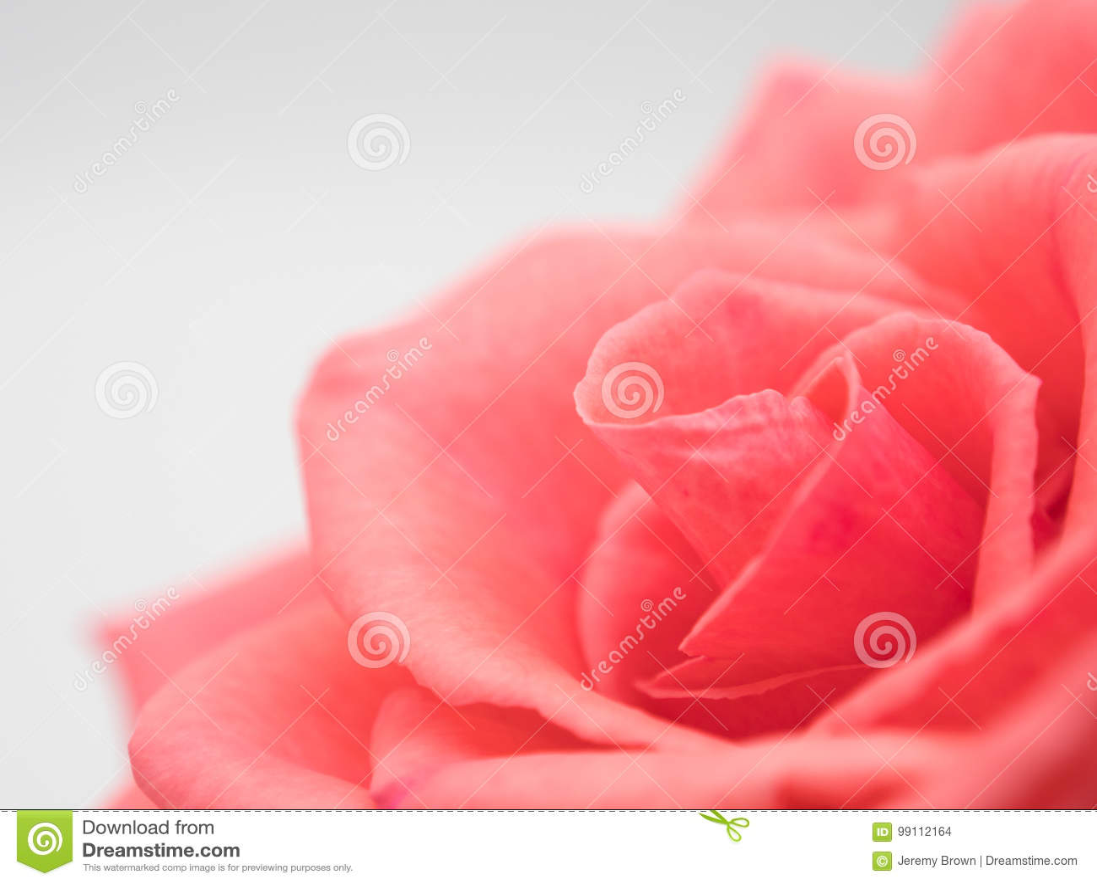 Tło odizolowywający menchii róży biel