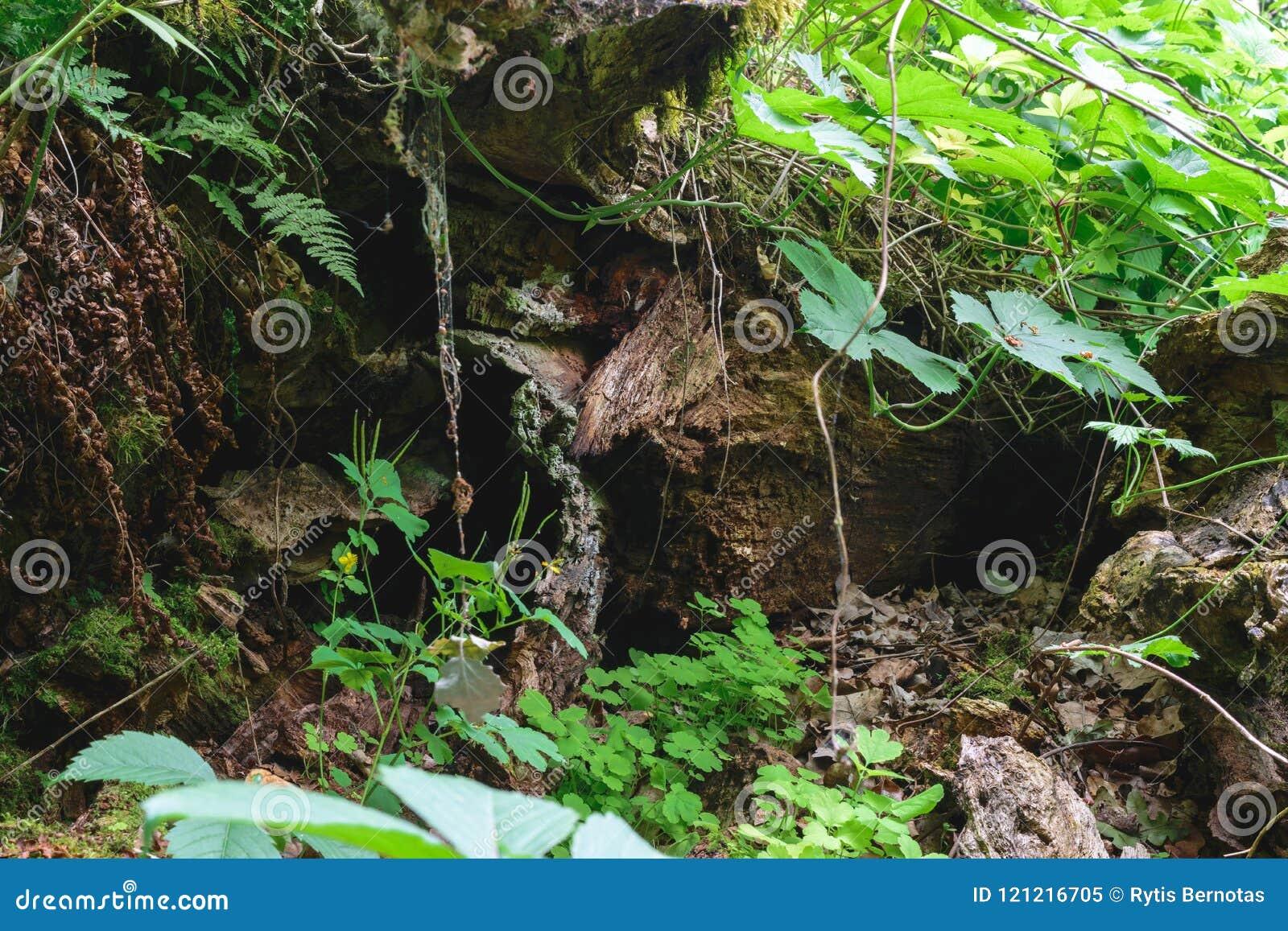 Tło powierzchnia stary drzewny bagażnik otaczający paprociami i cli