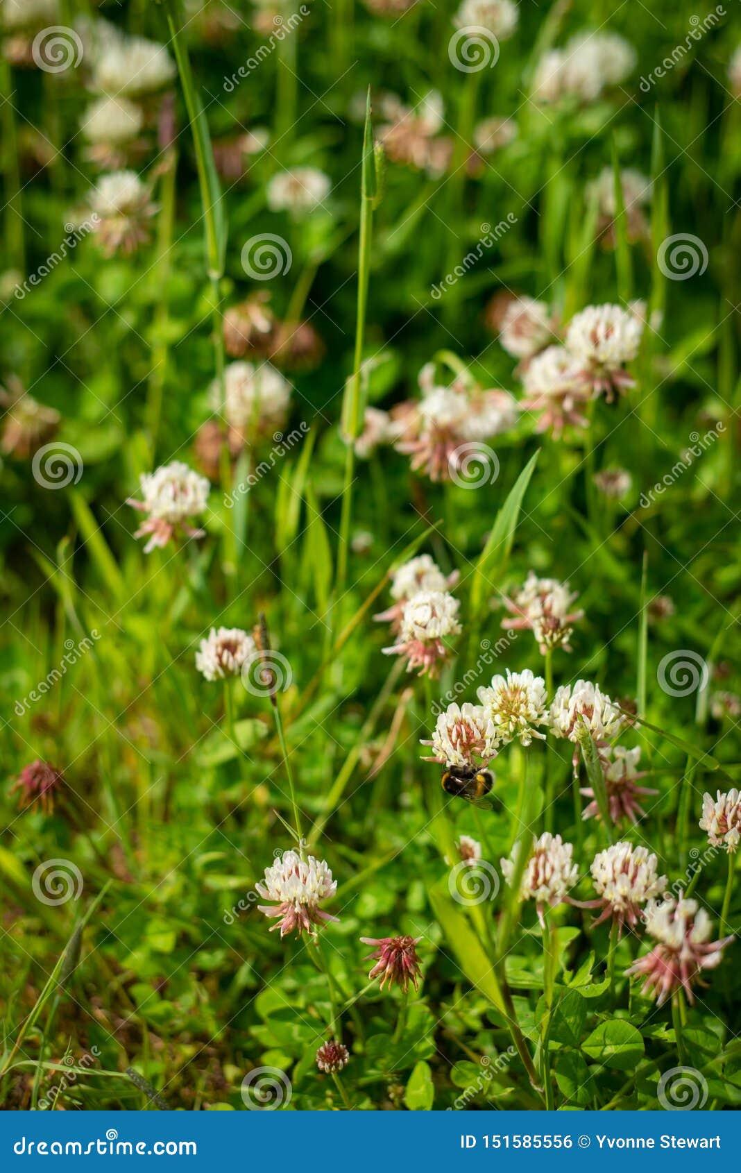 Tło wizerunek Koniczynowy pole Z pszczołami