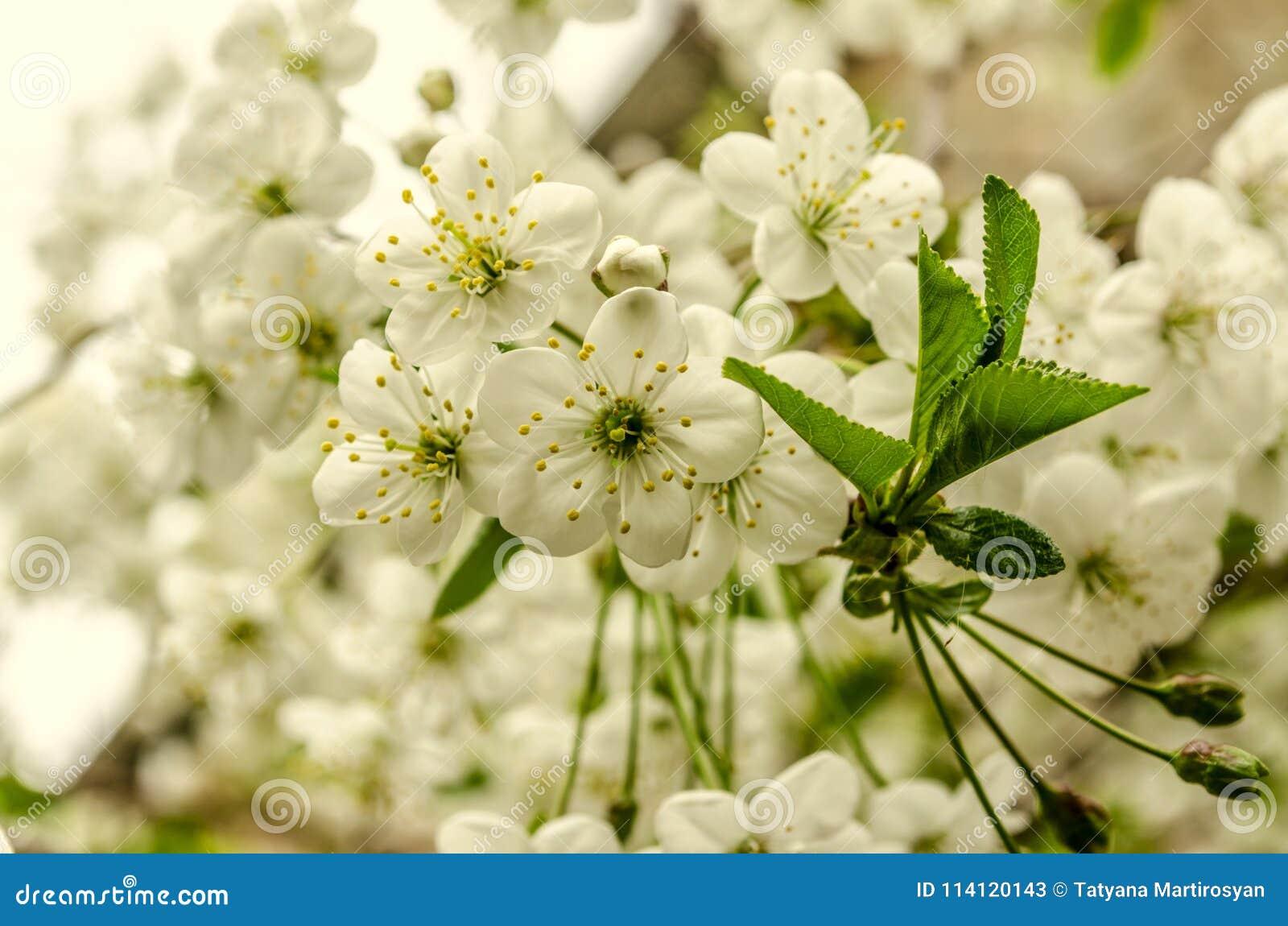 Tło z delikatnymi kwiatami czereśniowy drzewo