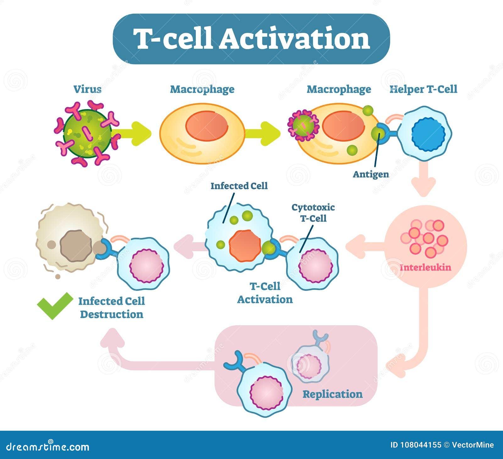 Fine T Cell Activation Diagram Vector Scheme Illustration Stock Vector Wiring Database Liteviha4X4Andersnl
