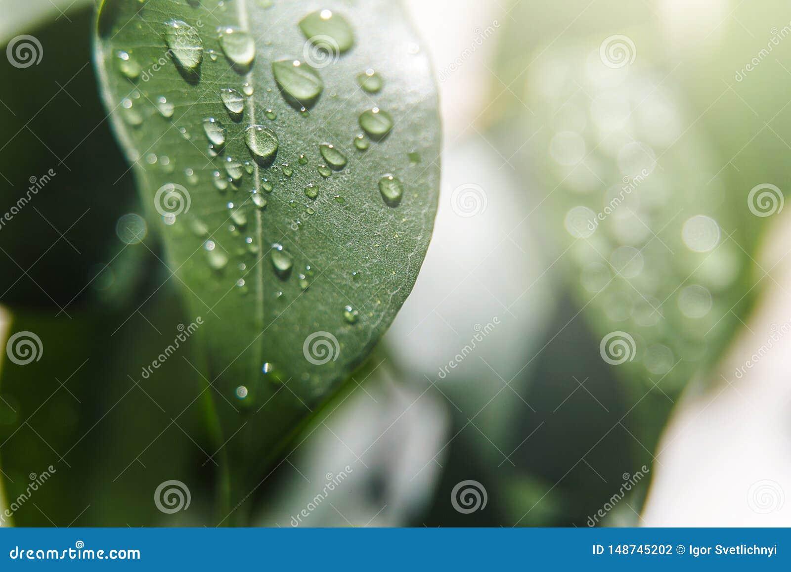 T?a naturalny pi?kny Lato, wiosen poj?cia Duża piękna woda opuszcza na świeżych liściach w delikatnych promieniach ciepły su