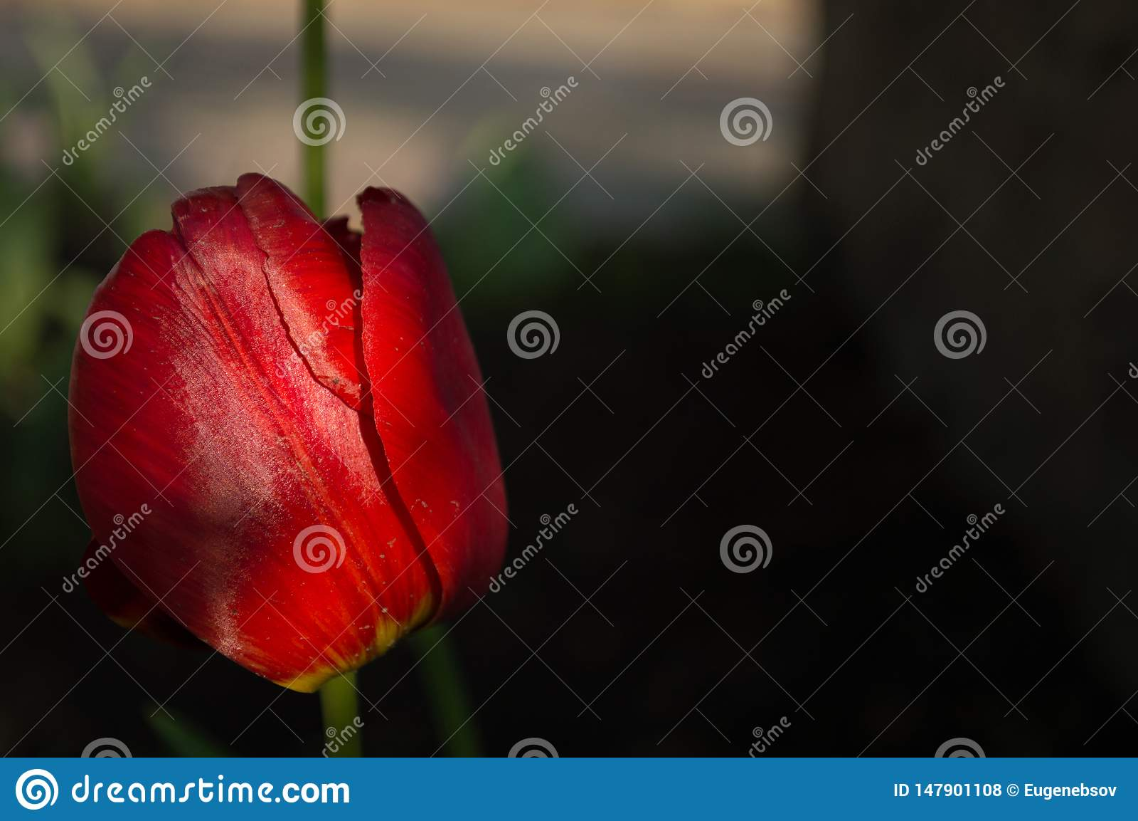 T?o zmrok - czerwony tulipan