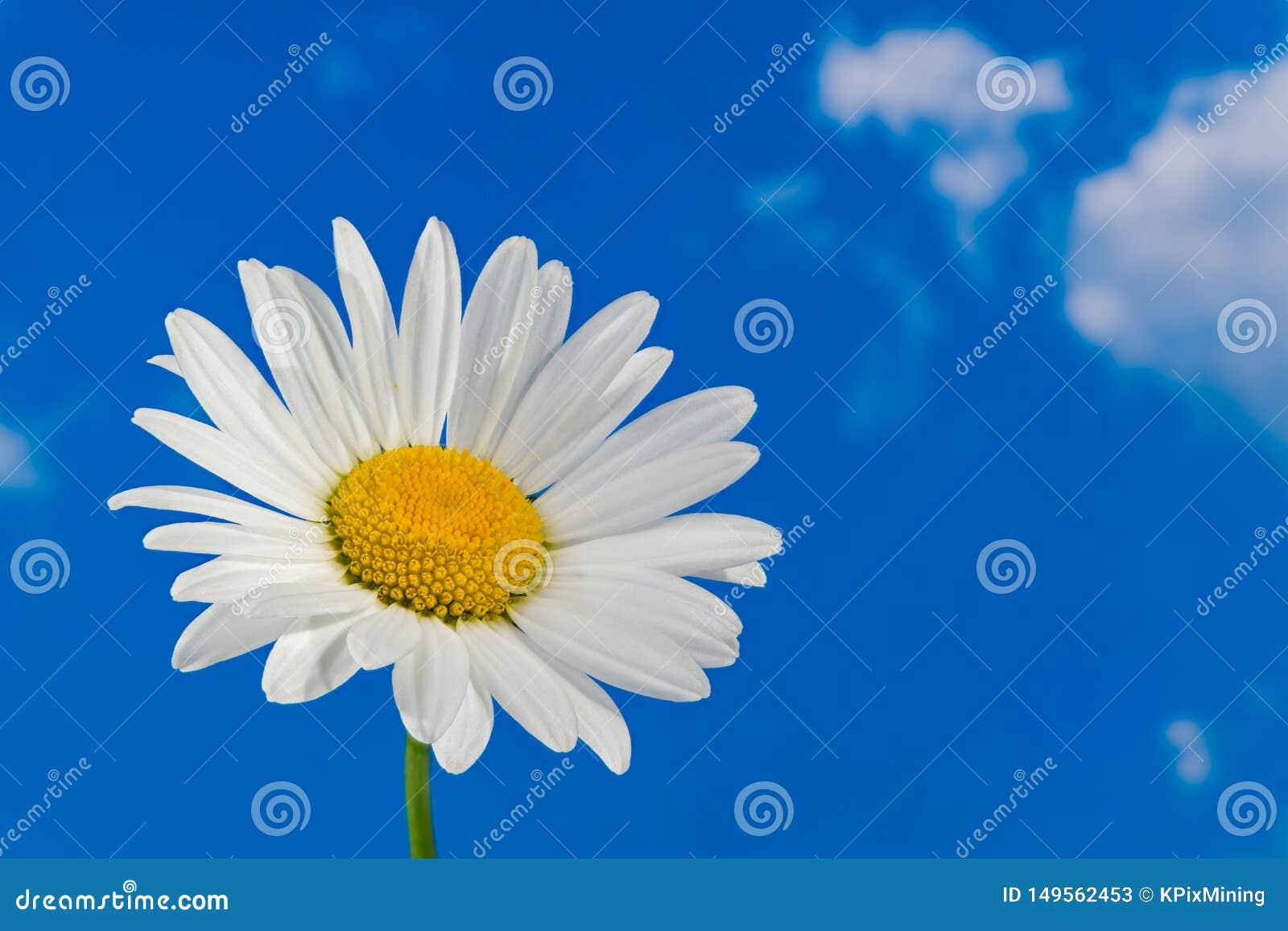 T?te de Daisy Flower d oeil de boeuf Marguerite Detail Leucanthemum Argyranthemum