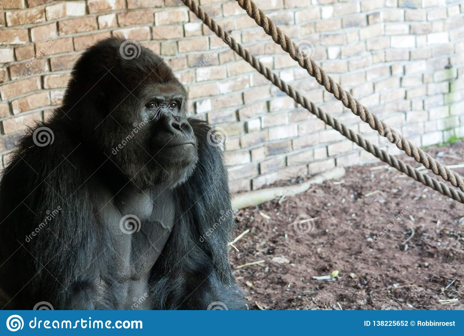Taaie gorilla