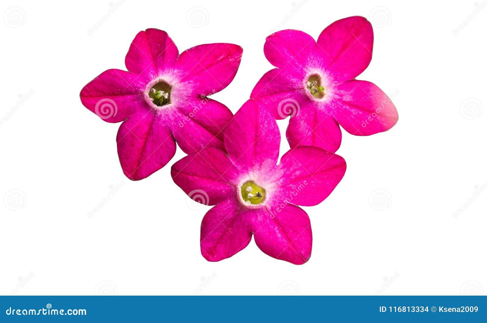 Tabacco fragrante del fiore isolato