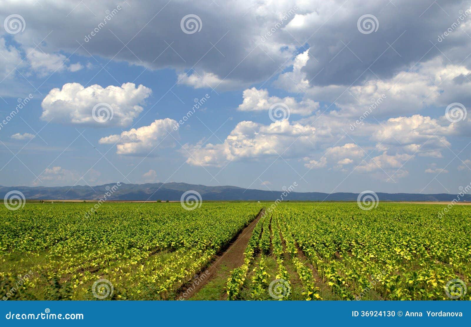 Tabaczne plantacje i podeszczowe chmury