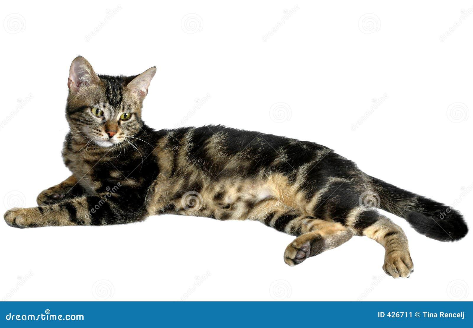 Tabby котенка ii