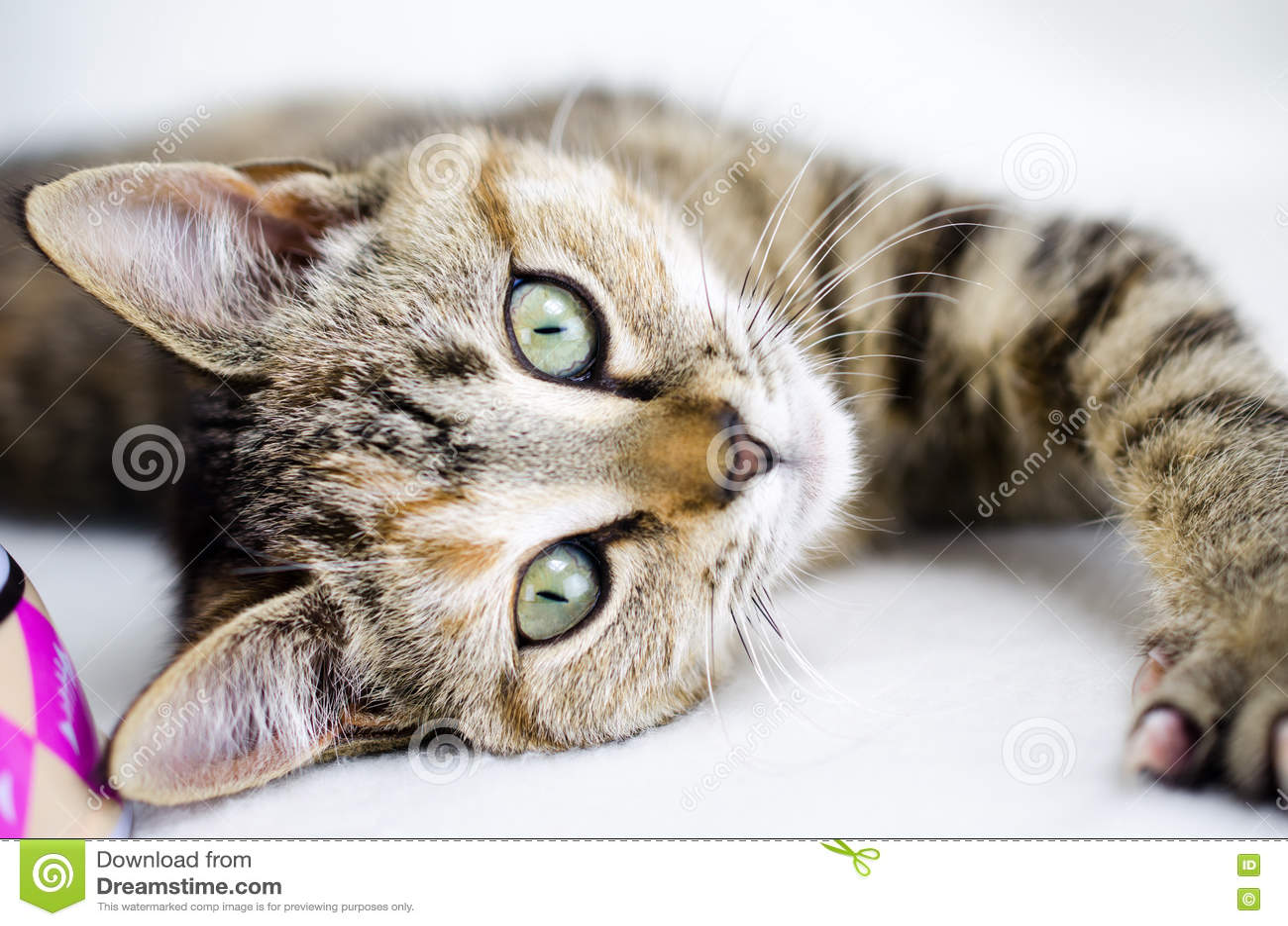 Tabby Calico Kitten Adoption Walton County Animal Control