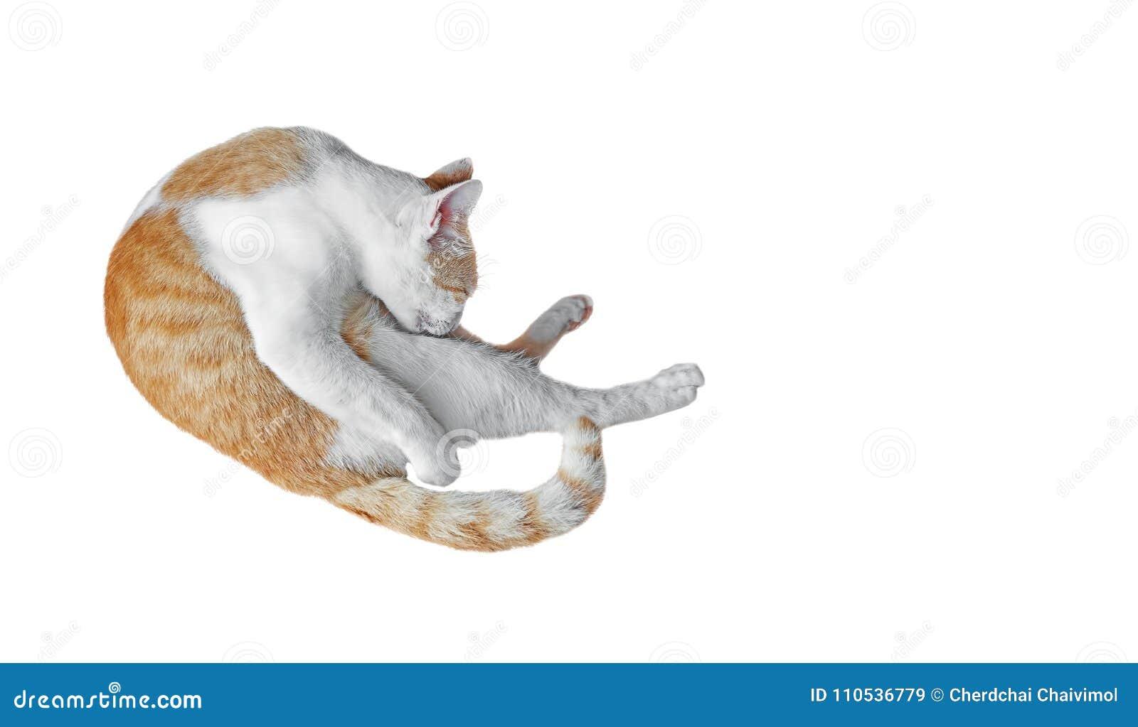 Tabby Cat Cleaning Isolated arancio su fondo bianco, tagliante