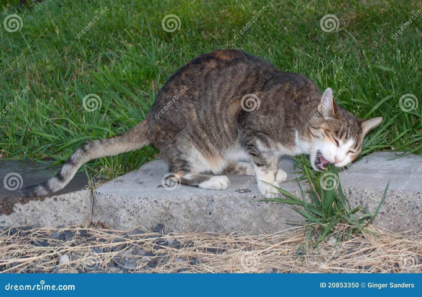 Tabby Cat Eating Grass