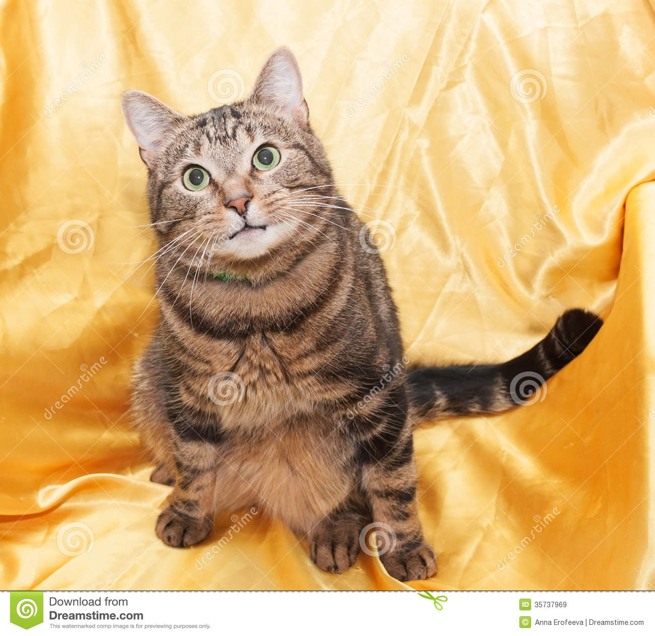 Tabby Cat With Funny Little Face Sitting In Chair, Looking ... Tabby Cat Sitting Up